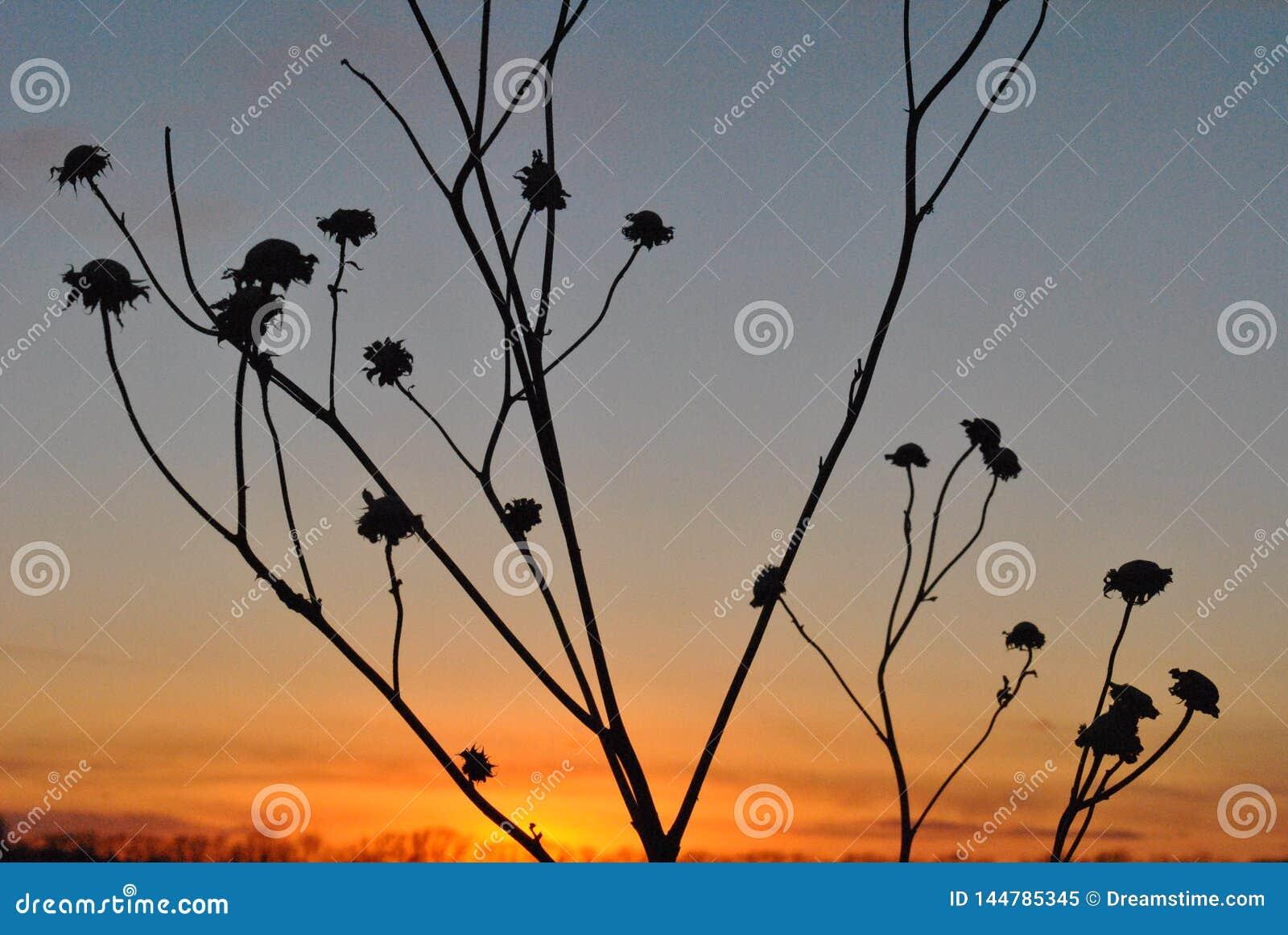 Coucher du soleil avec les cosses sèches de tournesol
