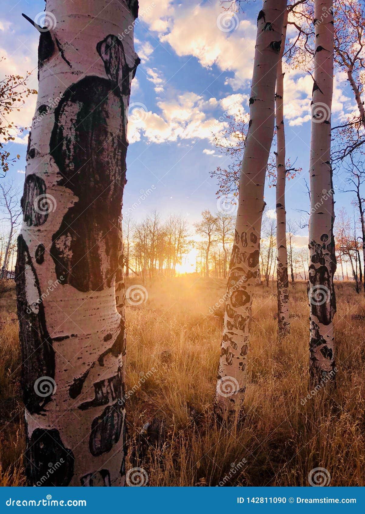 Coucher du soleil d arbre d Aspen
