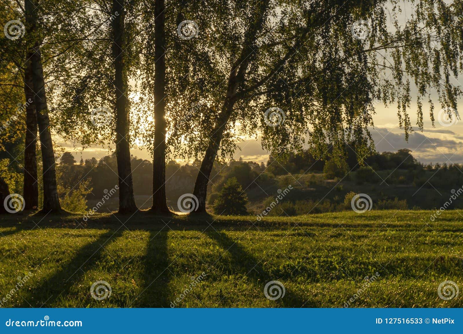 Coucher du soleil d or et nuages par des arbres de bouleau