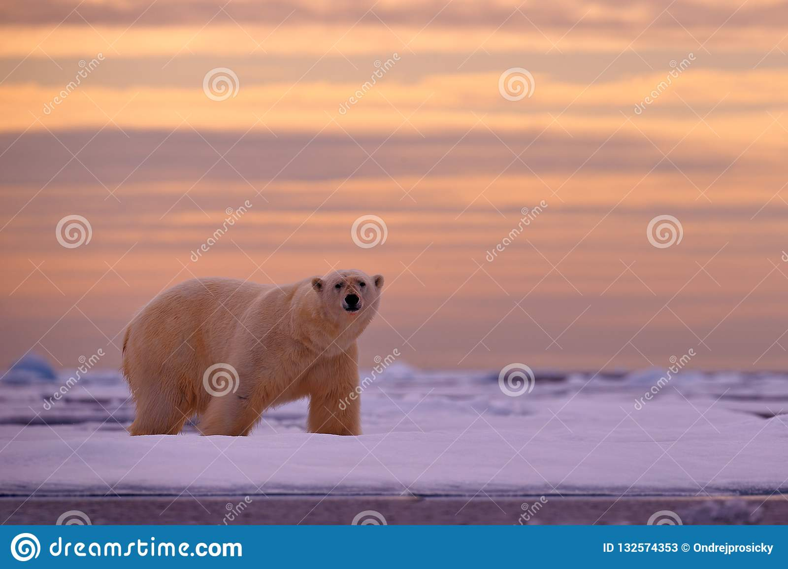 Coucher du soleil d ours blanc dans l Arctique Concernez la glace de dérive avec la neige, avec le soleil orange de soirée, le Sv
