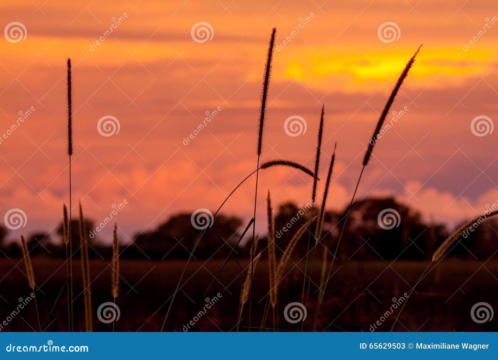 Coucher du soleil derrière l herbe et les arbres en Afrique