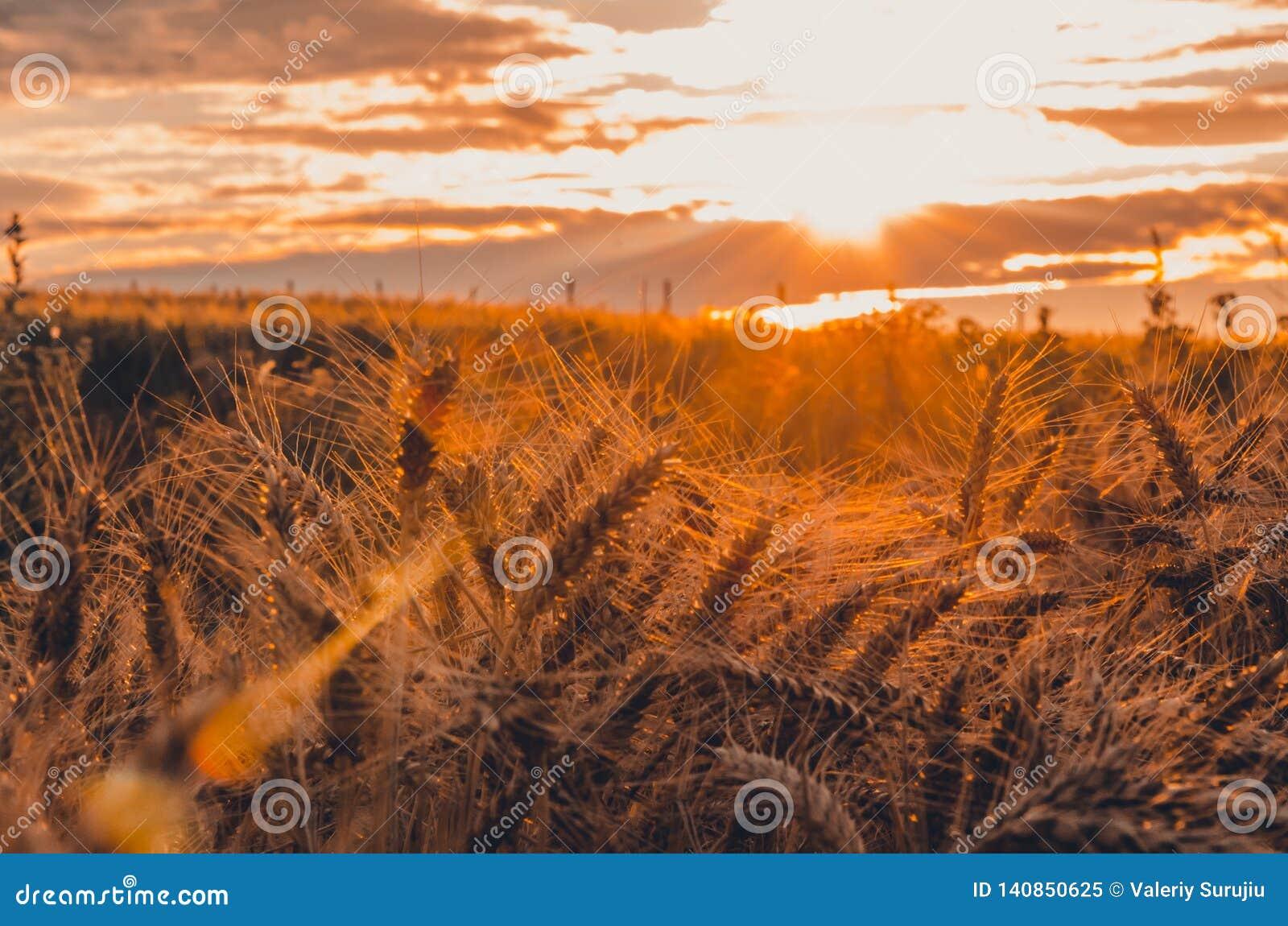 Coucher du soleil magique au-dessus du champ de blé