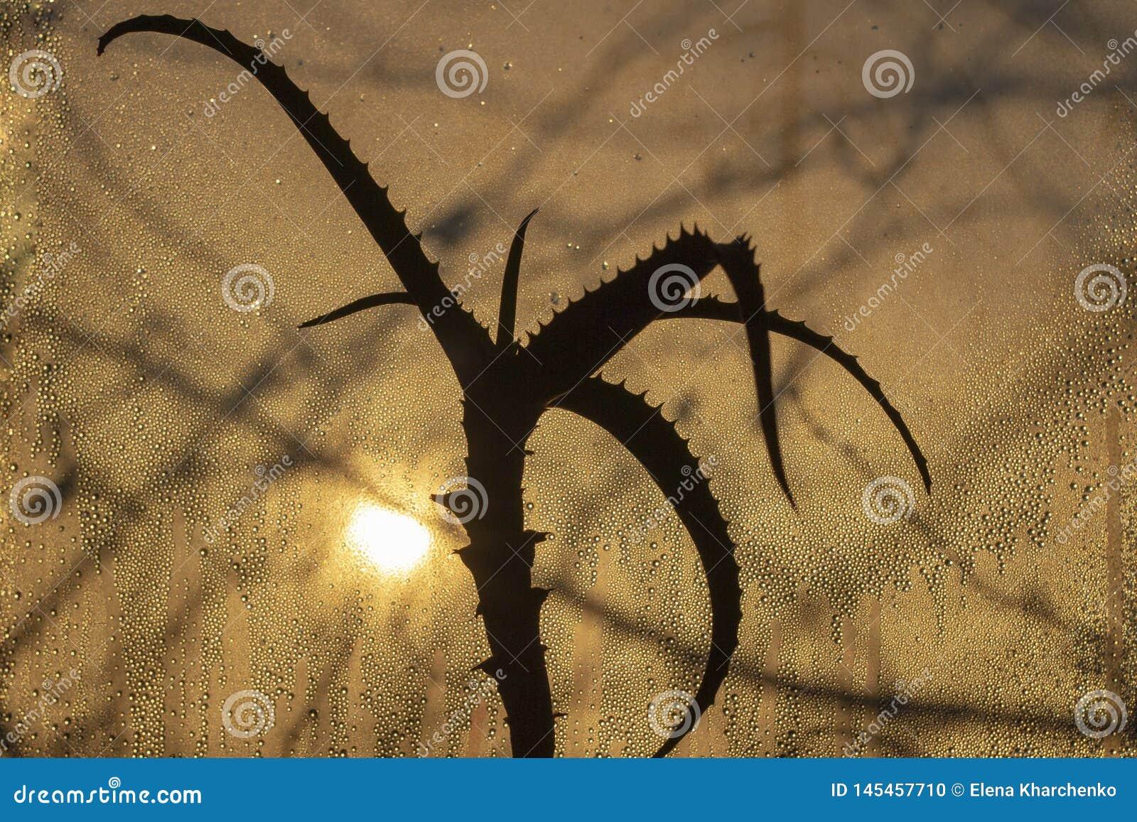 Coucher du soleil par le verre misted, dans le premier plan une fleur d aloès