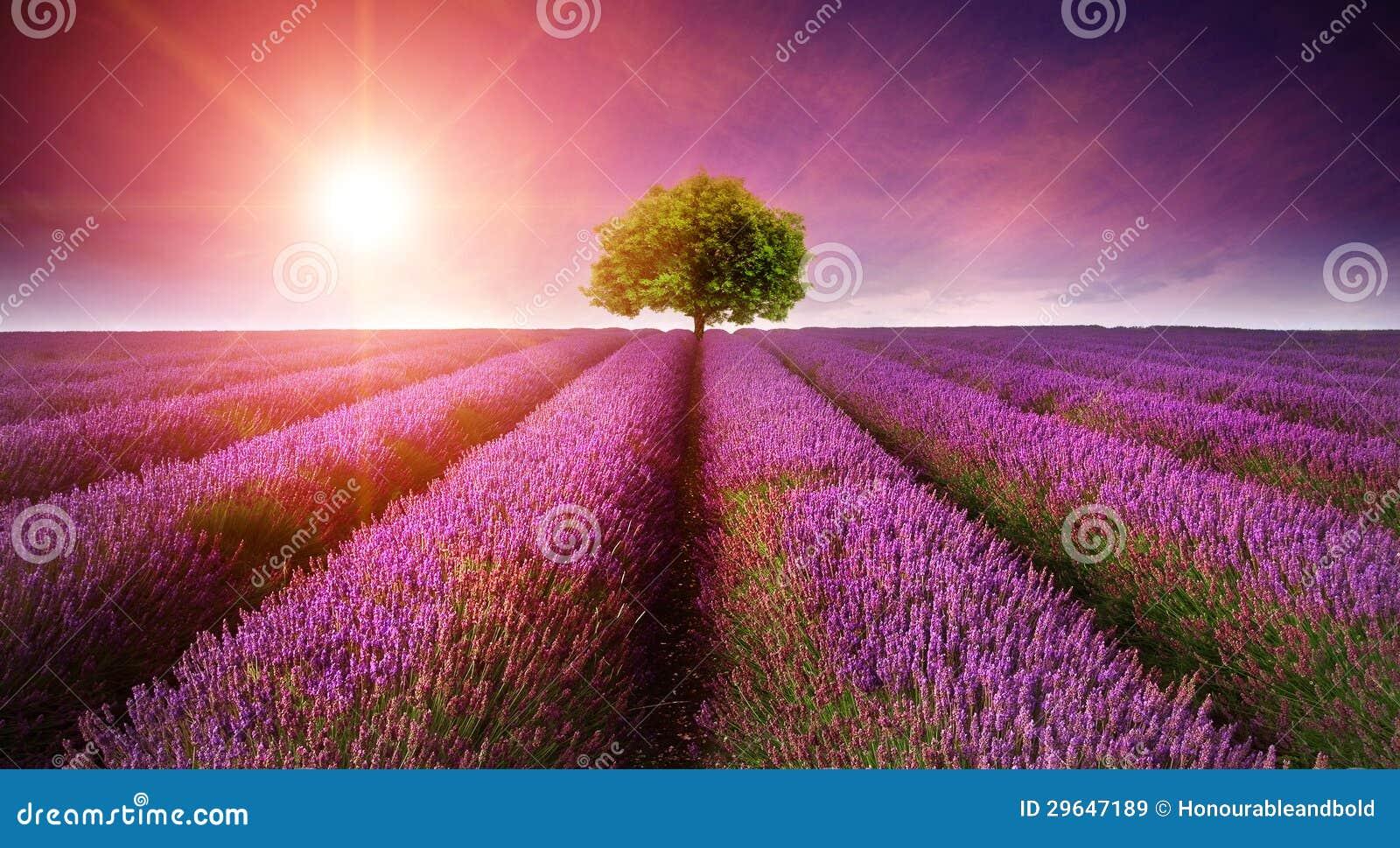Coucher du soleil renversant d été d horizontal de gisement de lavande avec l arbre simple