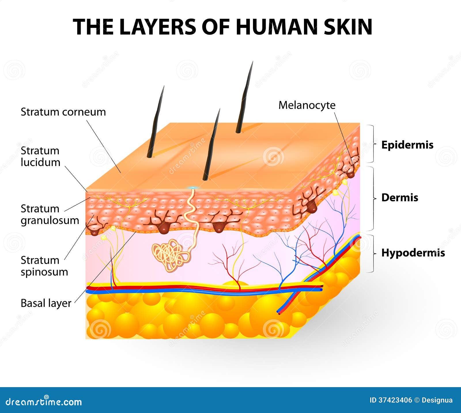 spierlaag huid