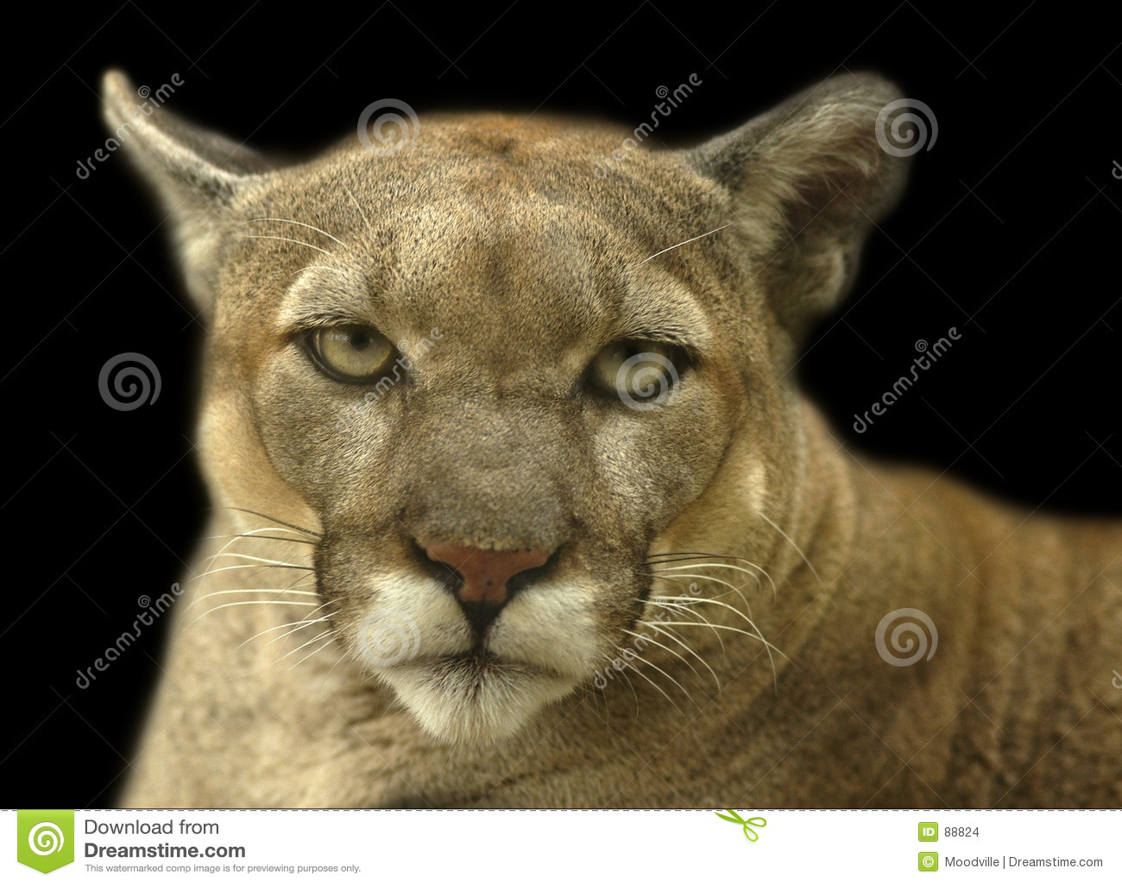 Cougar πορτρέτο