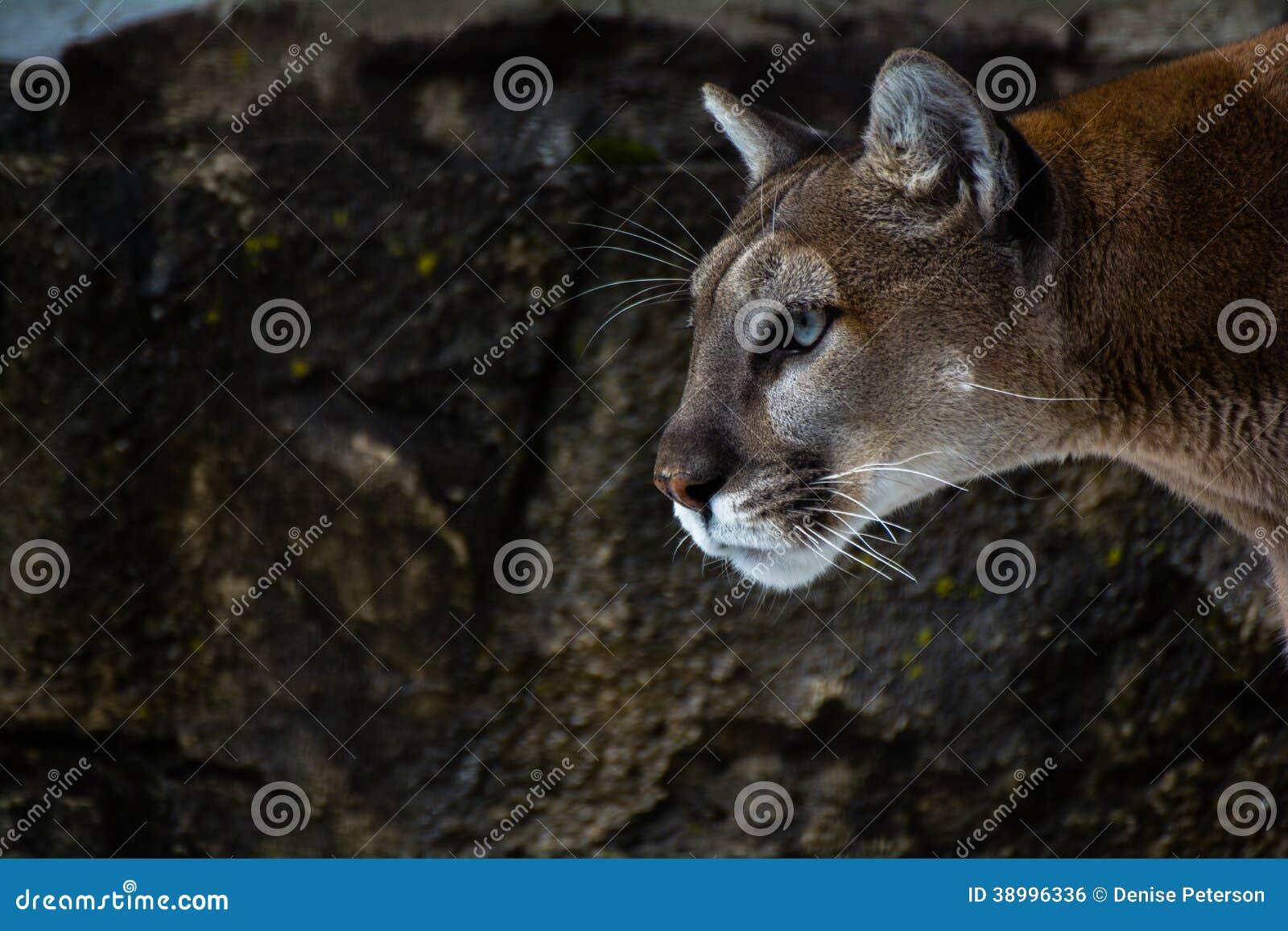 Mountain lion face close up - photo#19