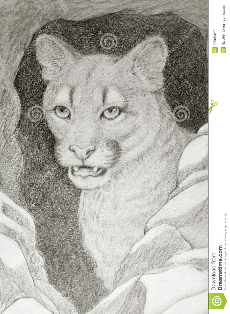 Cougar Face Line Drawing : Cougar face portrait royalty free stock photography