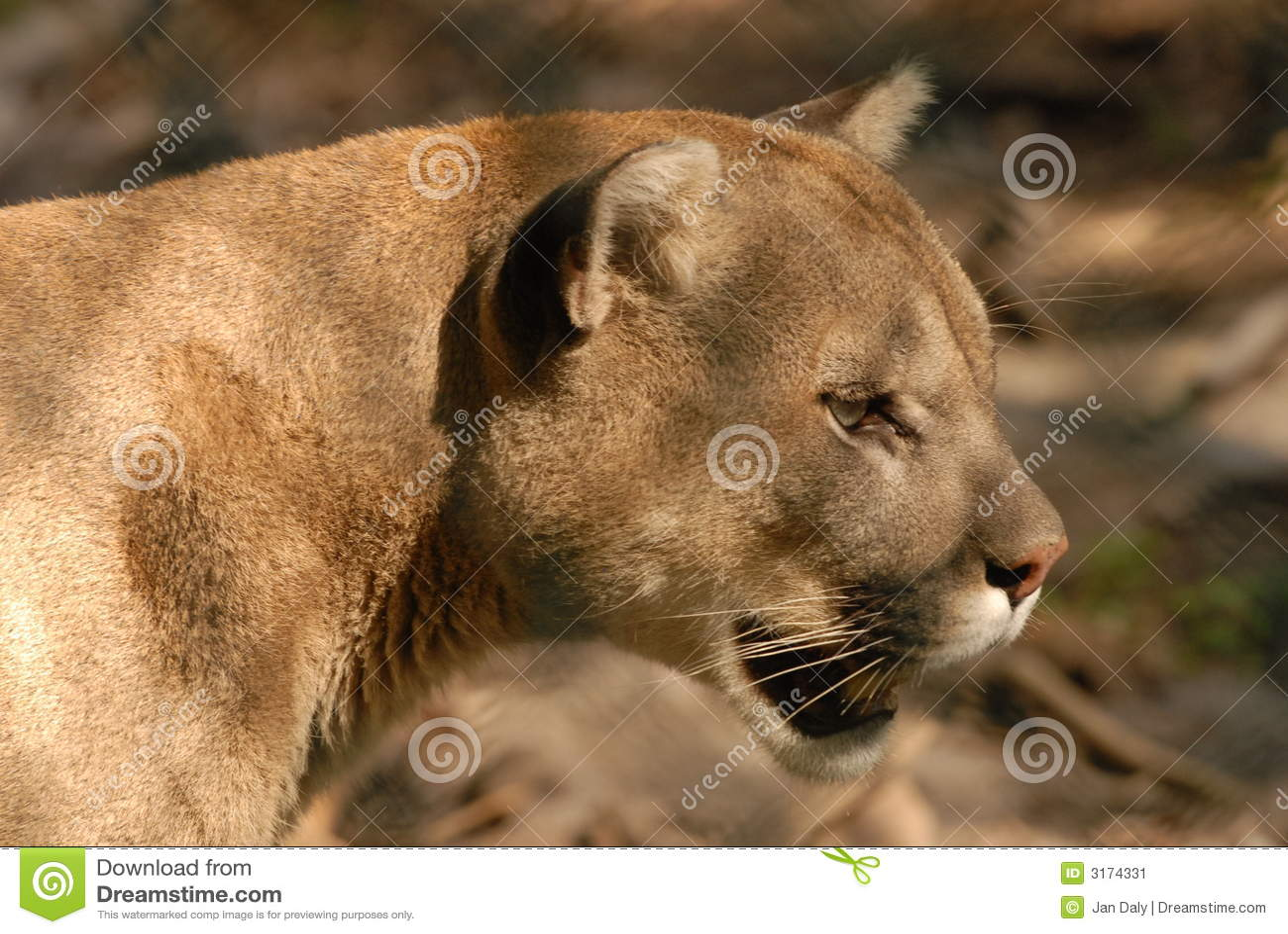 Cougar interesujące