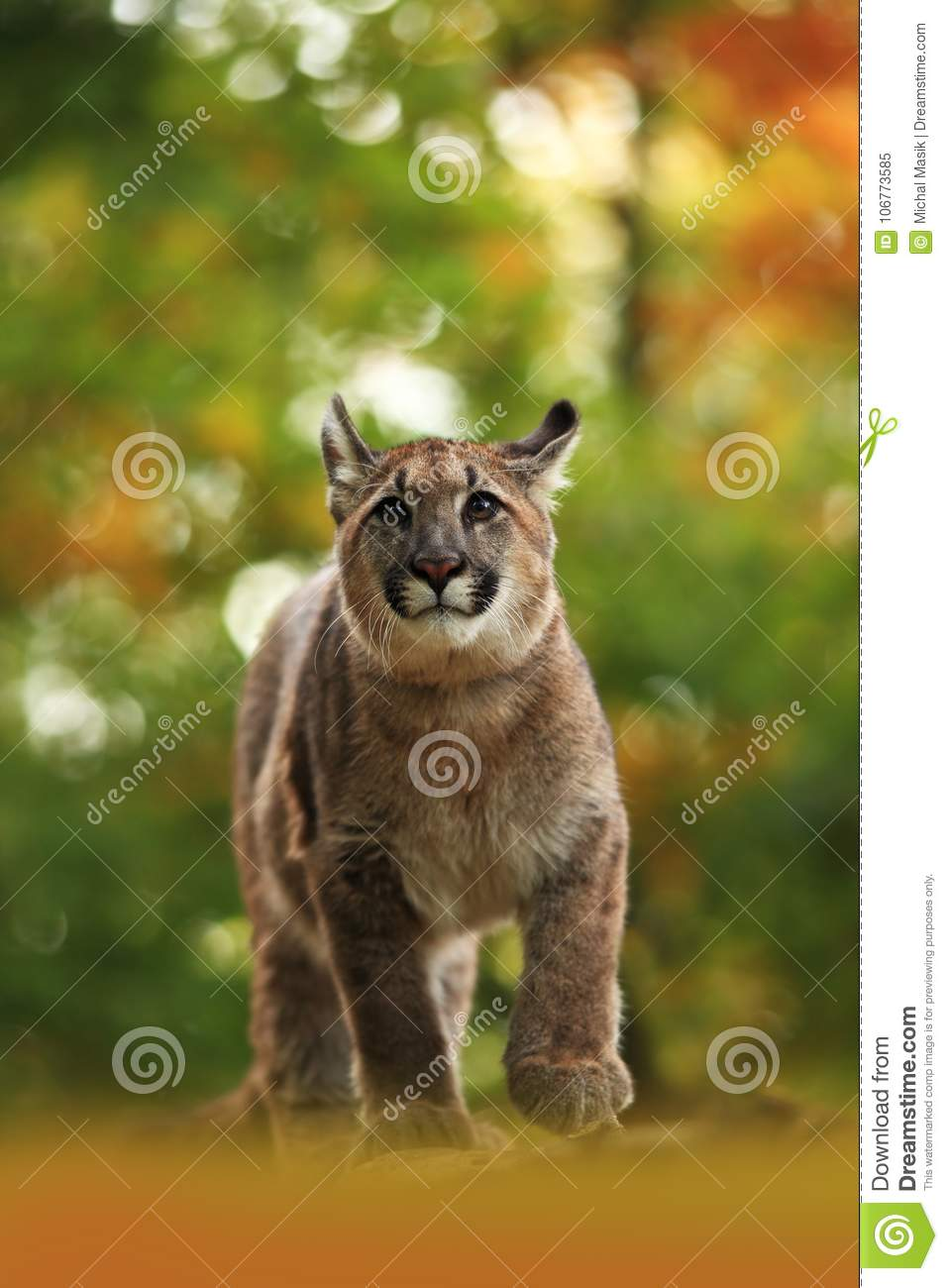 Cougar is the largest feline of North America.