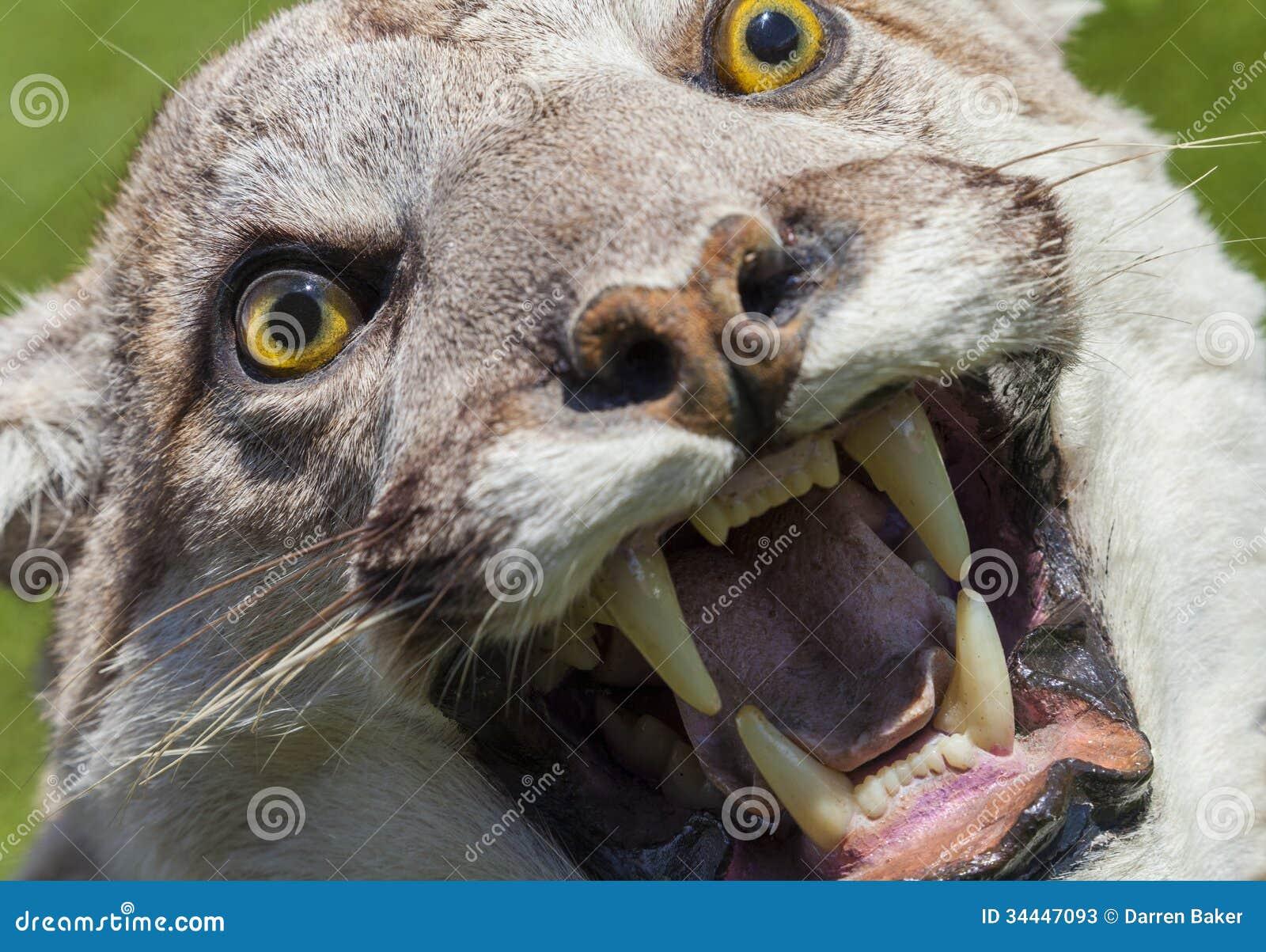 Cougar roaring