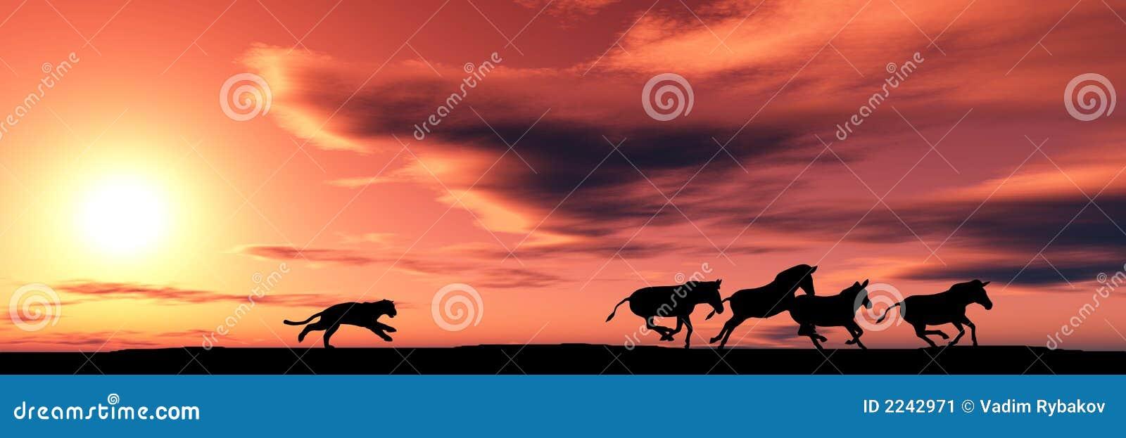 Cougar polowania