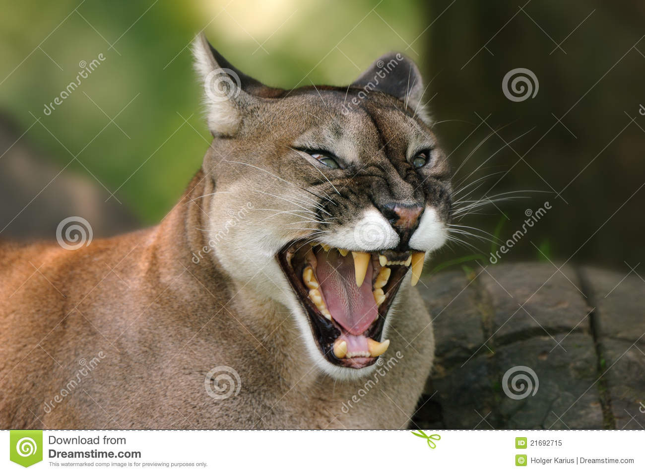 Cougar (Puma Concolor) Royalty Free Stock Photo - Image: 21692715