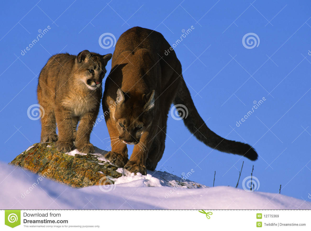 Cougar Teaching Her Cub How to Hunt