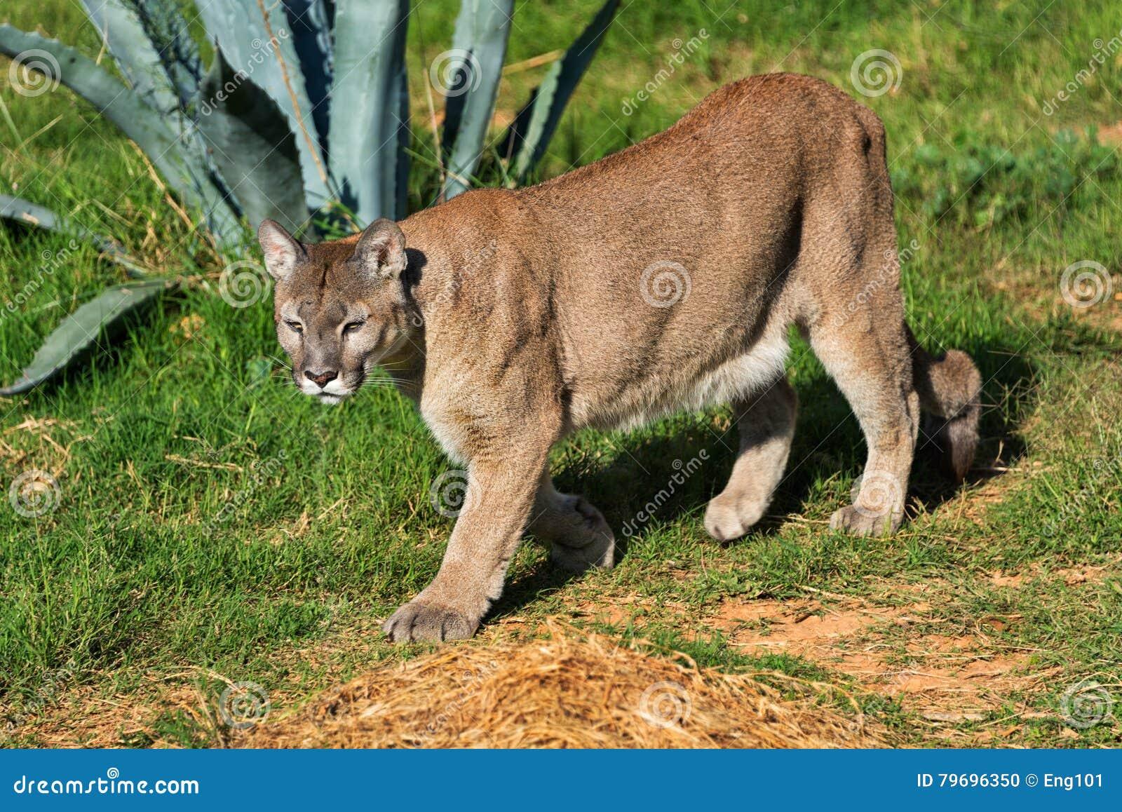 ca0dbd069e3bb Cougar walking stock photo. Image of puma