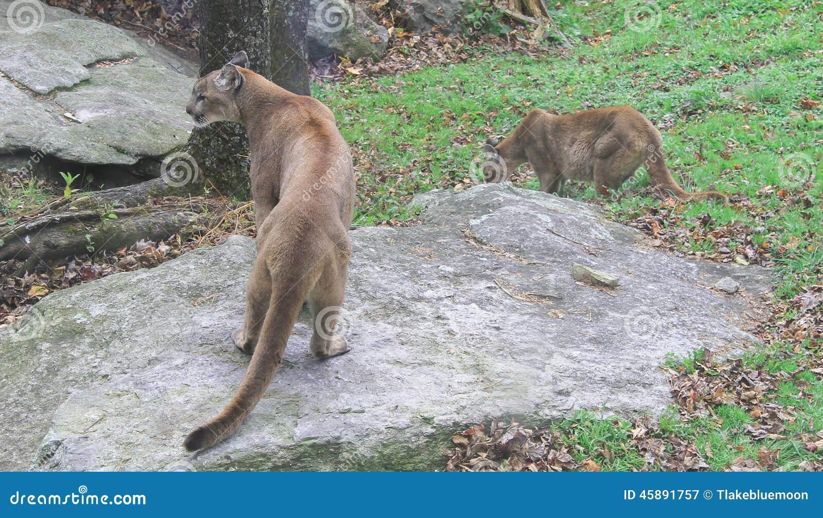 Cougars in north carolina