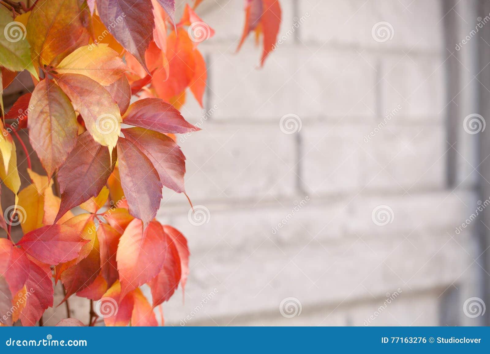Couleur changeante de feuilles d arbre sauvage de raisin en automne tôt - concentrez sur des feuilles