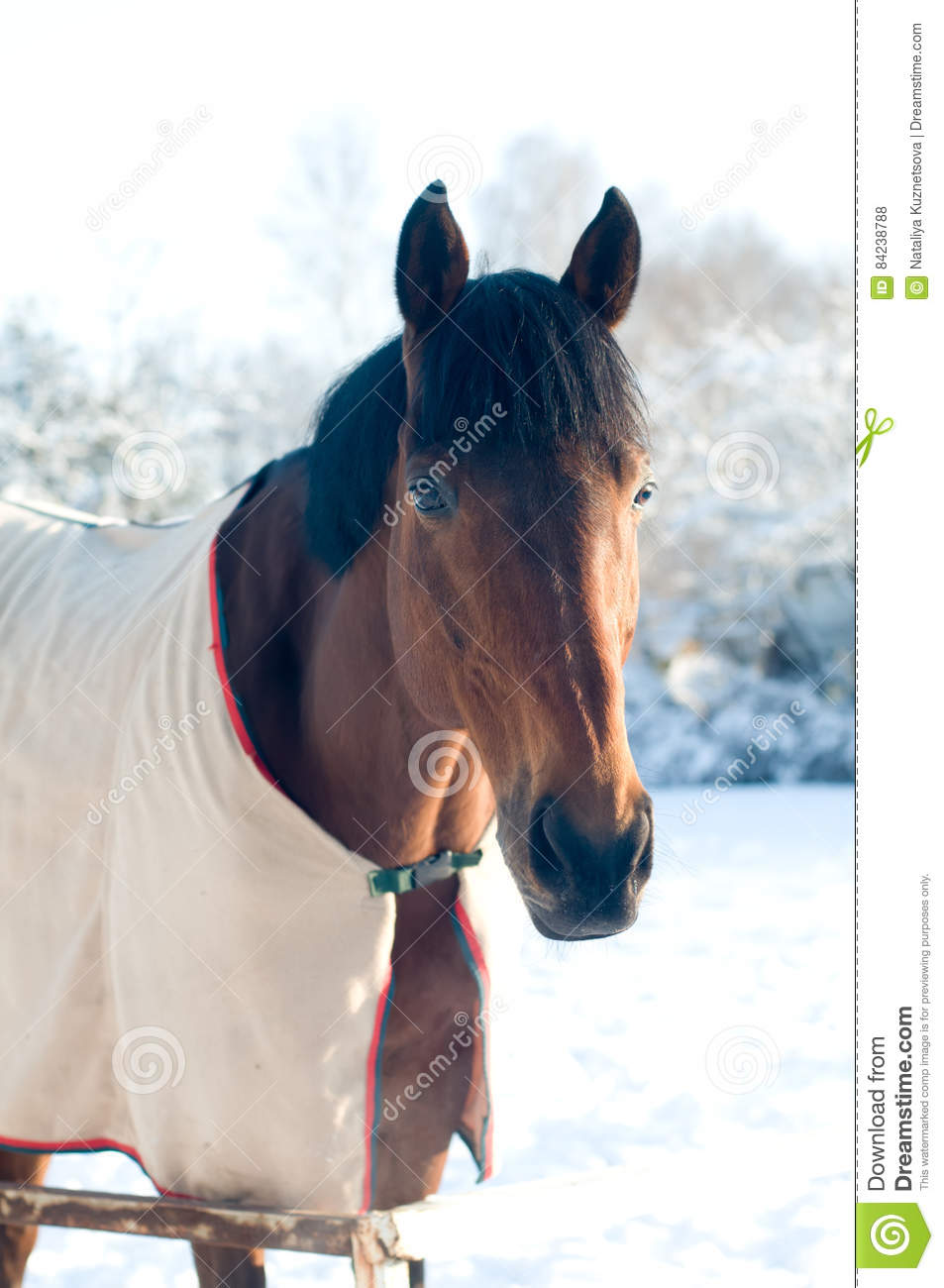 Image Stock Photo Couleur De Baie Cheval En Hiver Portrate kOiPuXZ