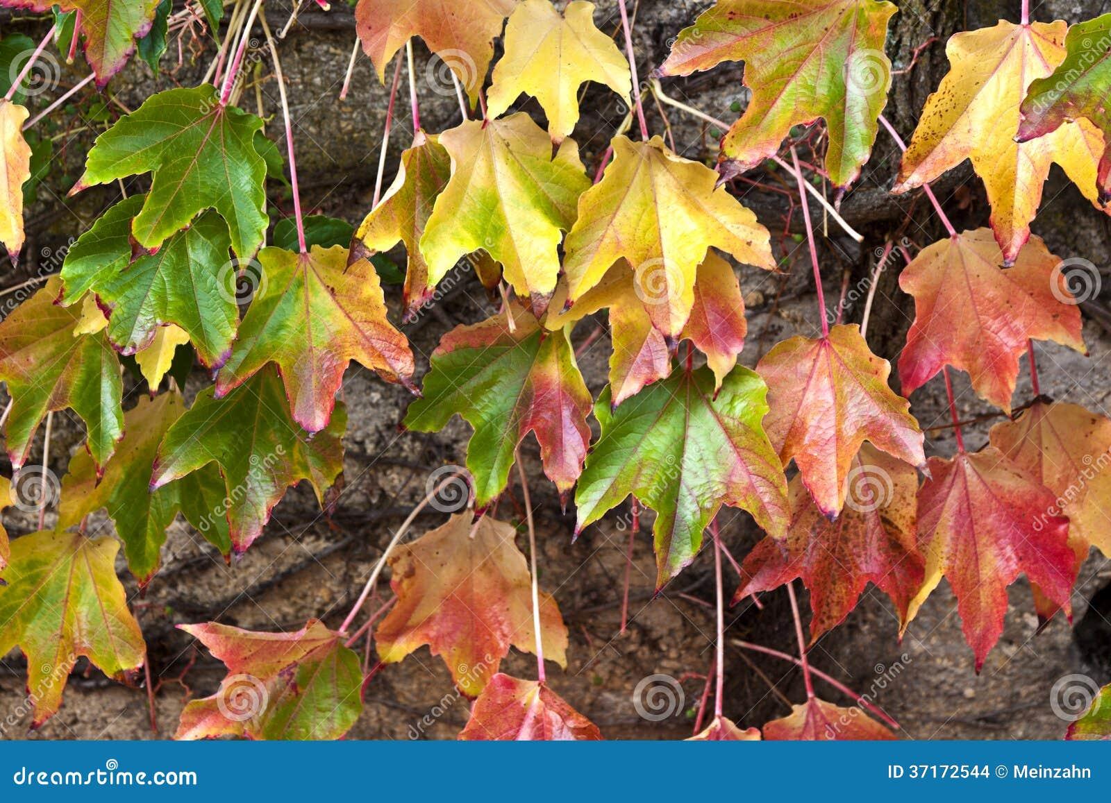 Couleur de changement de feuilles de plante grimpante de for Plante 9 feuilles