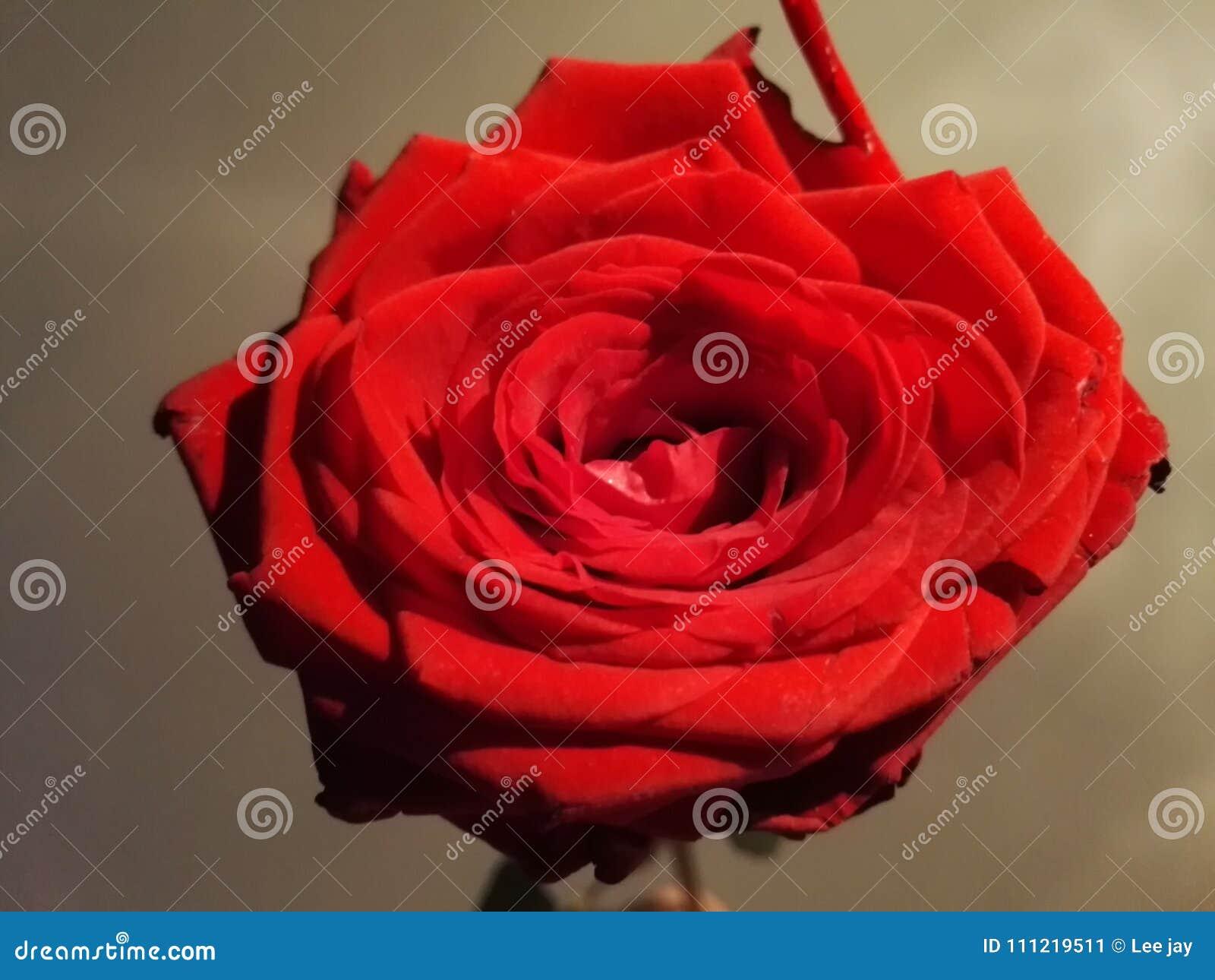 Couleur Douce De Fleur De Rose De Rouge Dans Le Sentiment Romantique