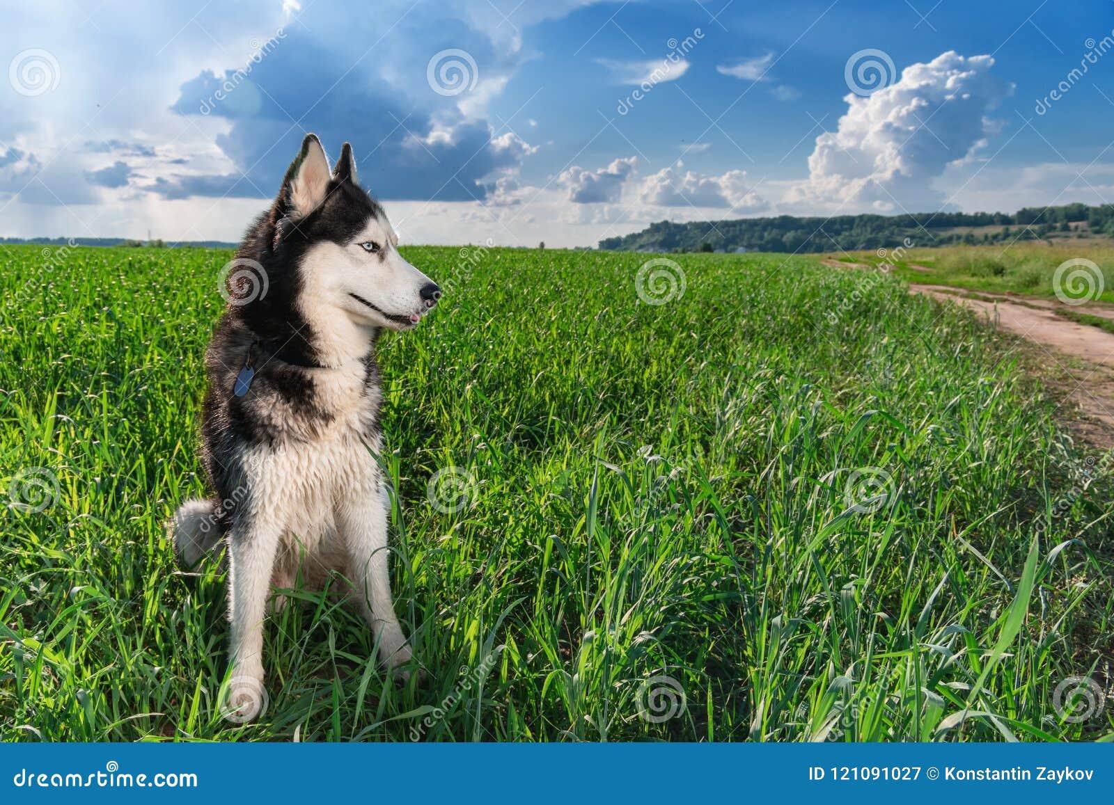 Couleur noire et blanche aux yeux bleus de chien de traîneau sibérien se reposant sur le champ vert clair Chien enroué de portrai