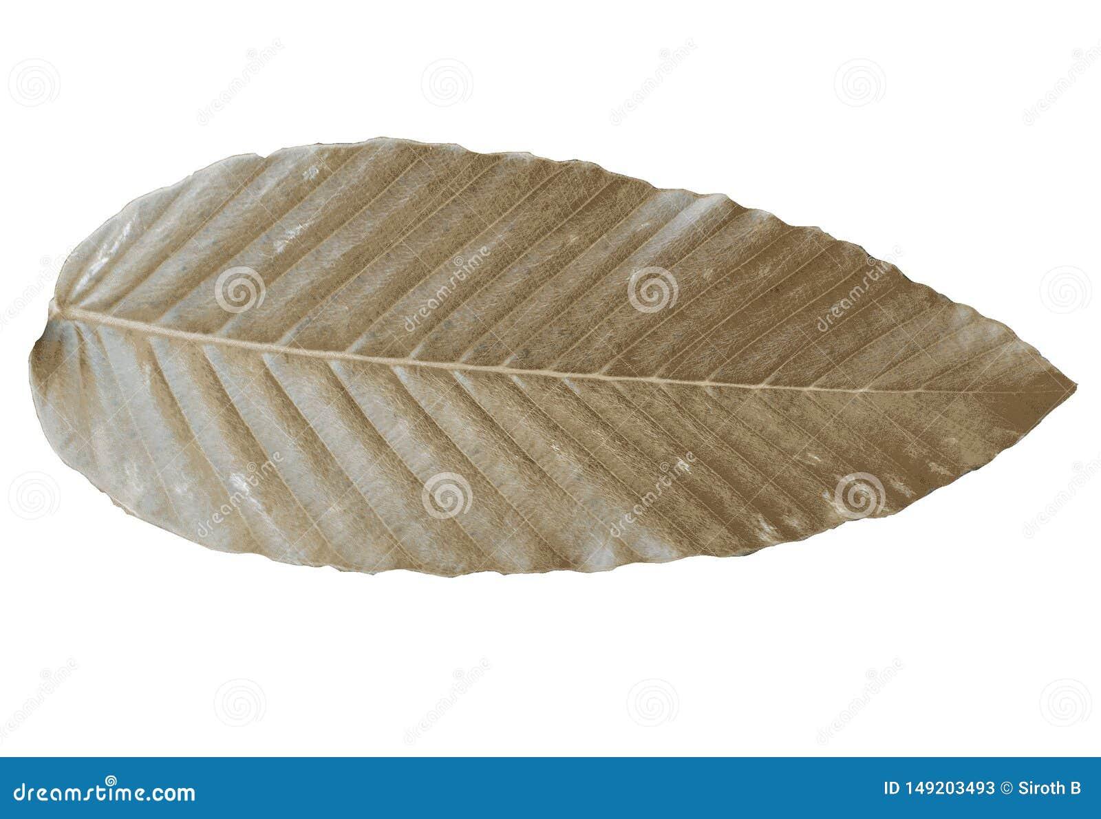 Couleur tropicale s?che de feuilles de Brown d isolement sur les milieux blancs