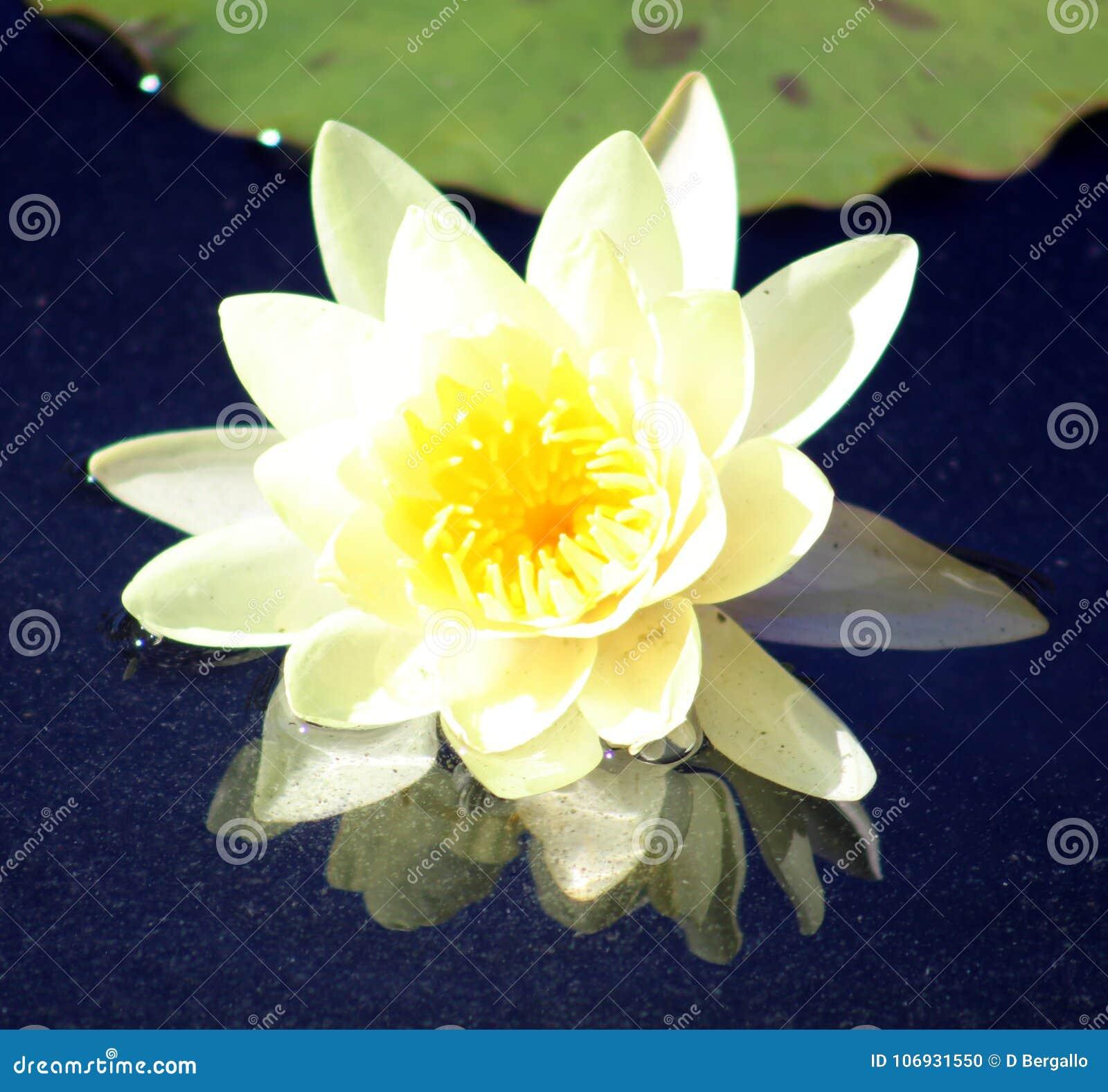 Couleurs beautful pourpres de Flor de loto de loto de fleur de lis