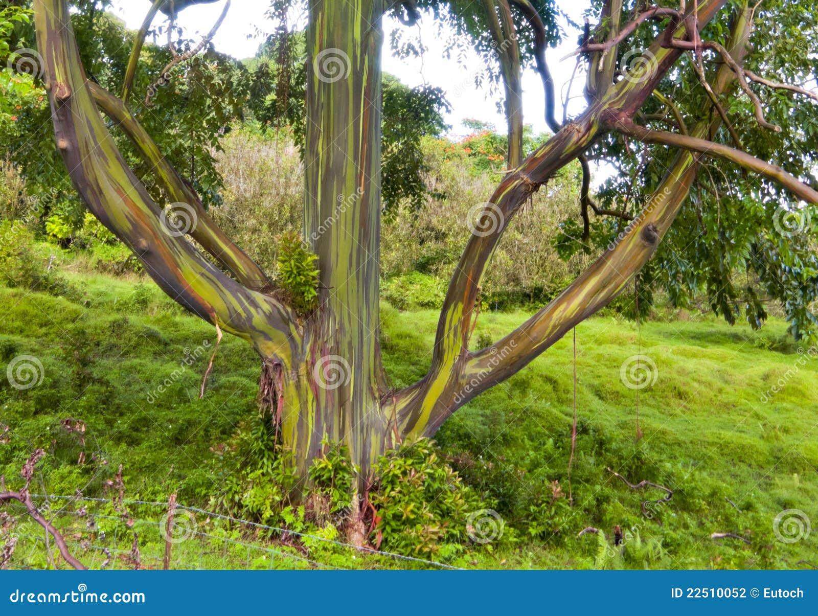 couleurs d arbre d arc en ciel maui hi - Arbre Ciel