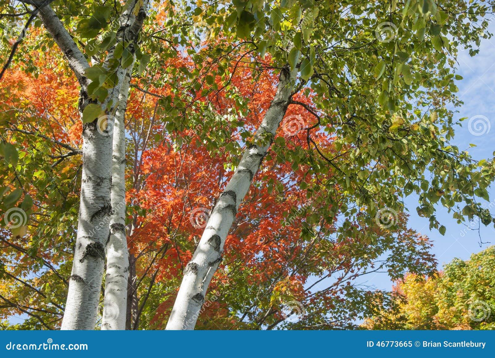 Couleurs de feuille d 39 automne sur le bouleau argent photo - Feuille de bouleau photo ...