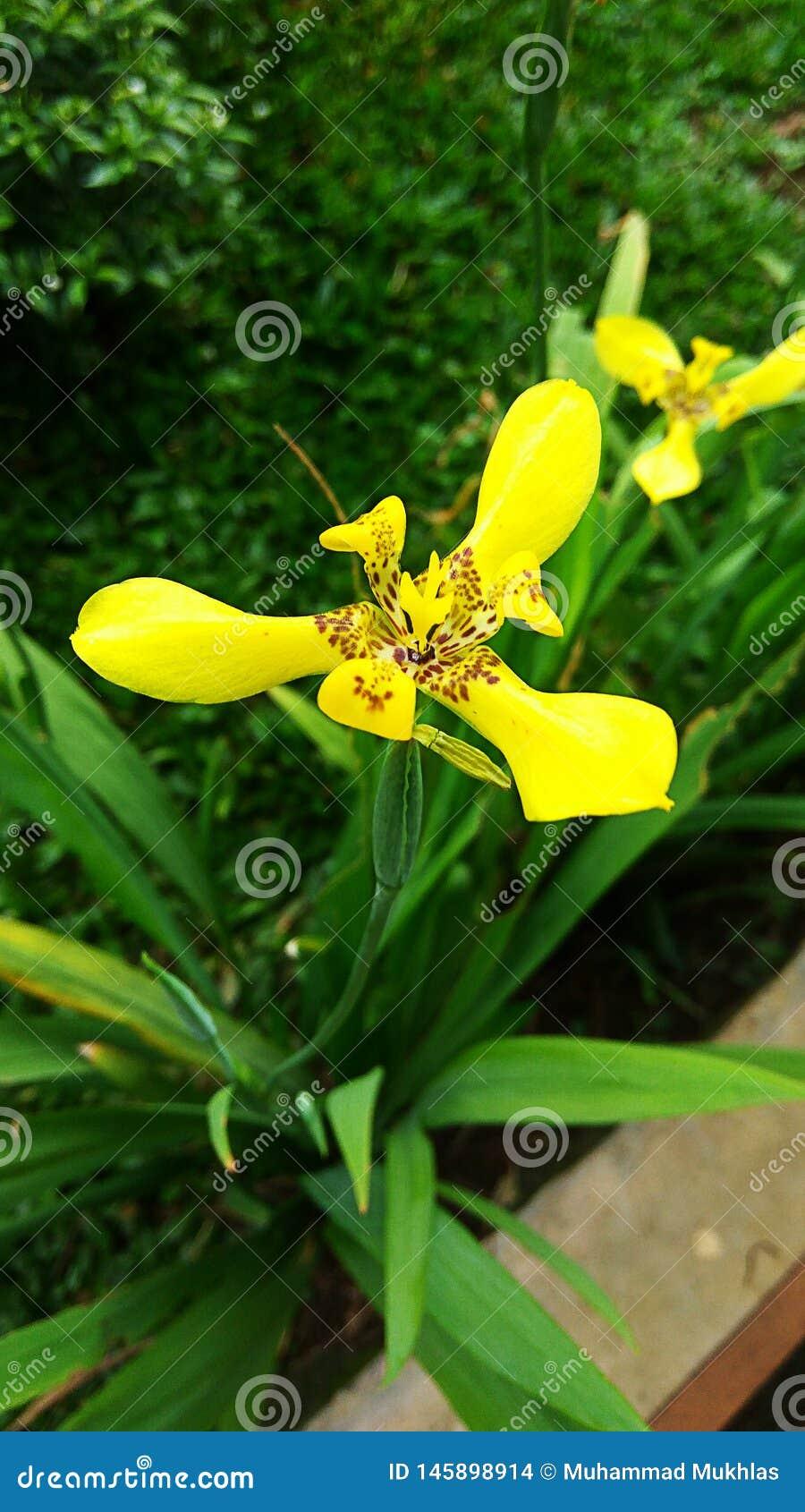 Couleurs fraîches des fleurs jaunes de la Martinique dans le jardin 01