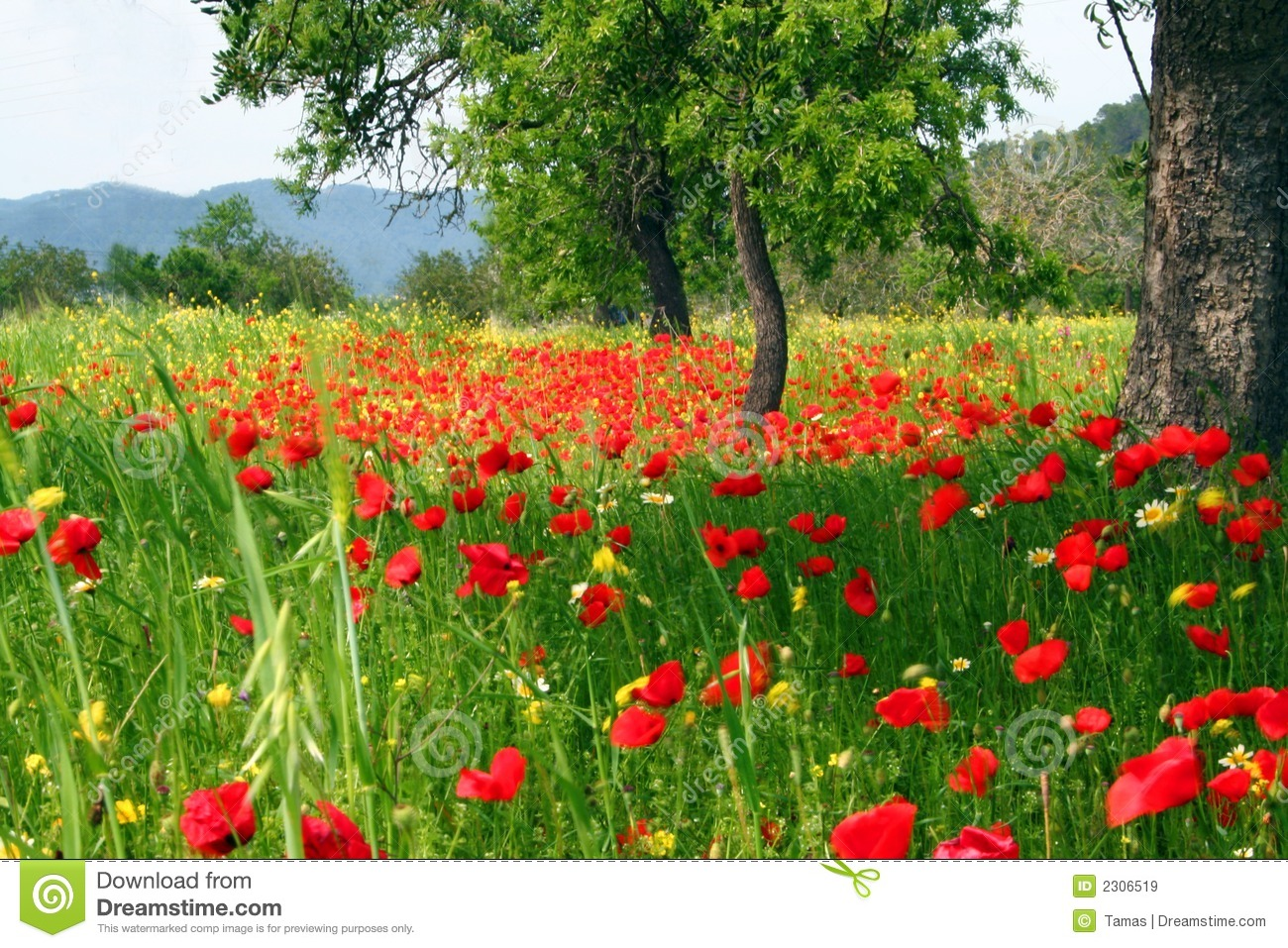 Poppy flower field at night royalty free stock photography image - Country Field Of Poppy Flowers Royalty Free Stock Images