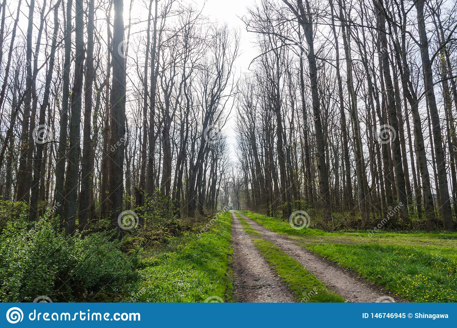 Country road through an elm tree forest with tall bare trees