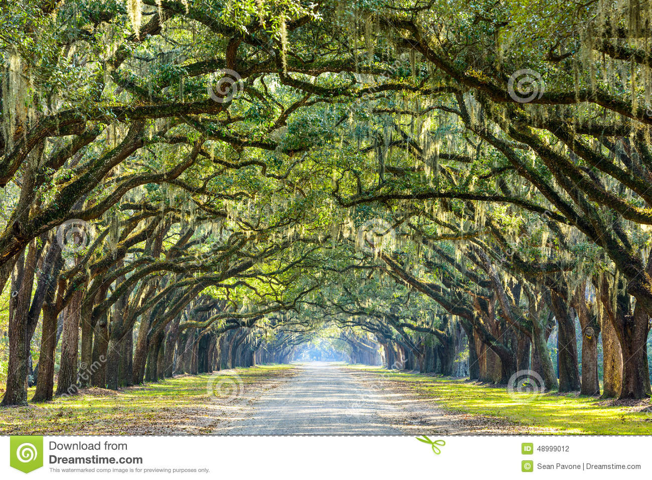 Country Road Lined With Oaks Stock Photo Image 48999012