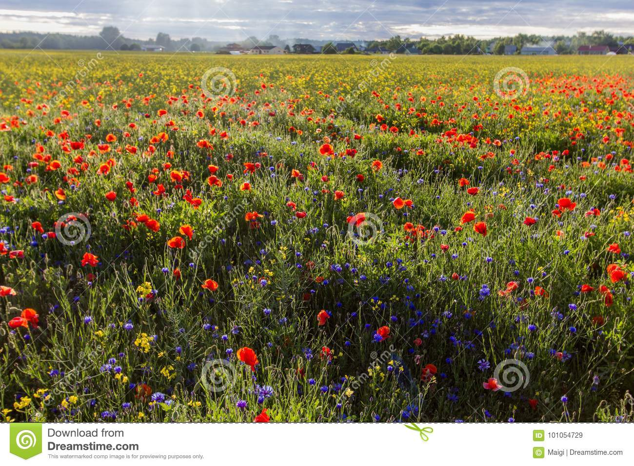 Download Countryside And Blooming Poppy Field Stock Image - Image of blooming, clouds: 101054729