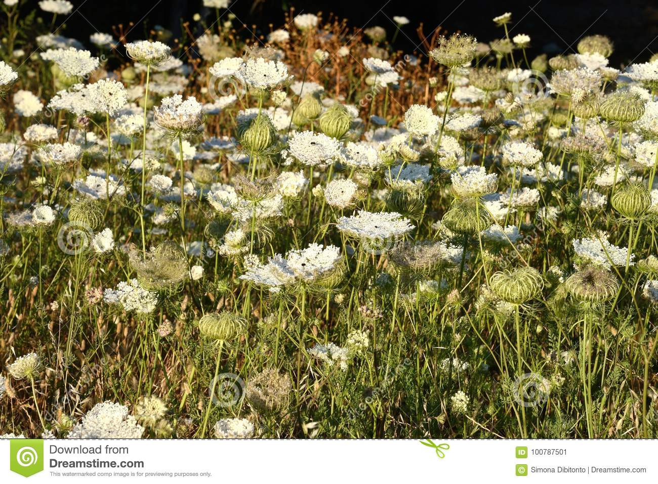 Countryside Field Full Of White Flowers Stock Image Image Of Field