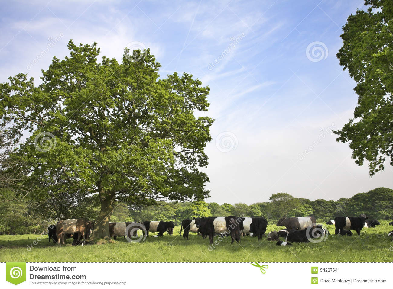 Countryside scene with Belted Galloway cattle