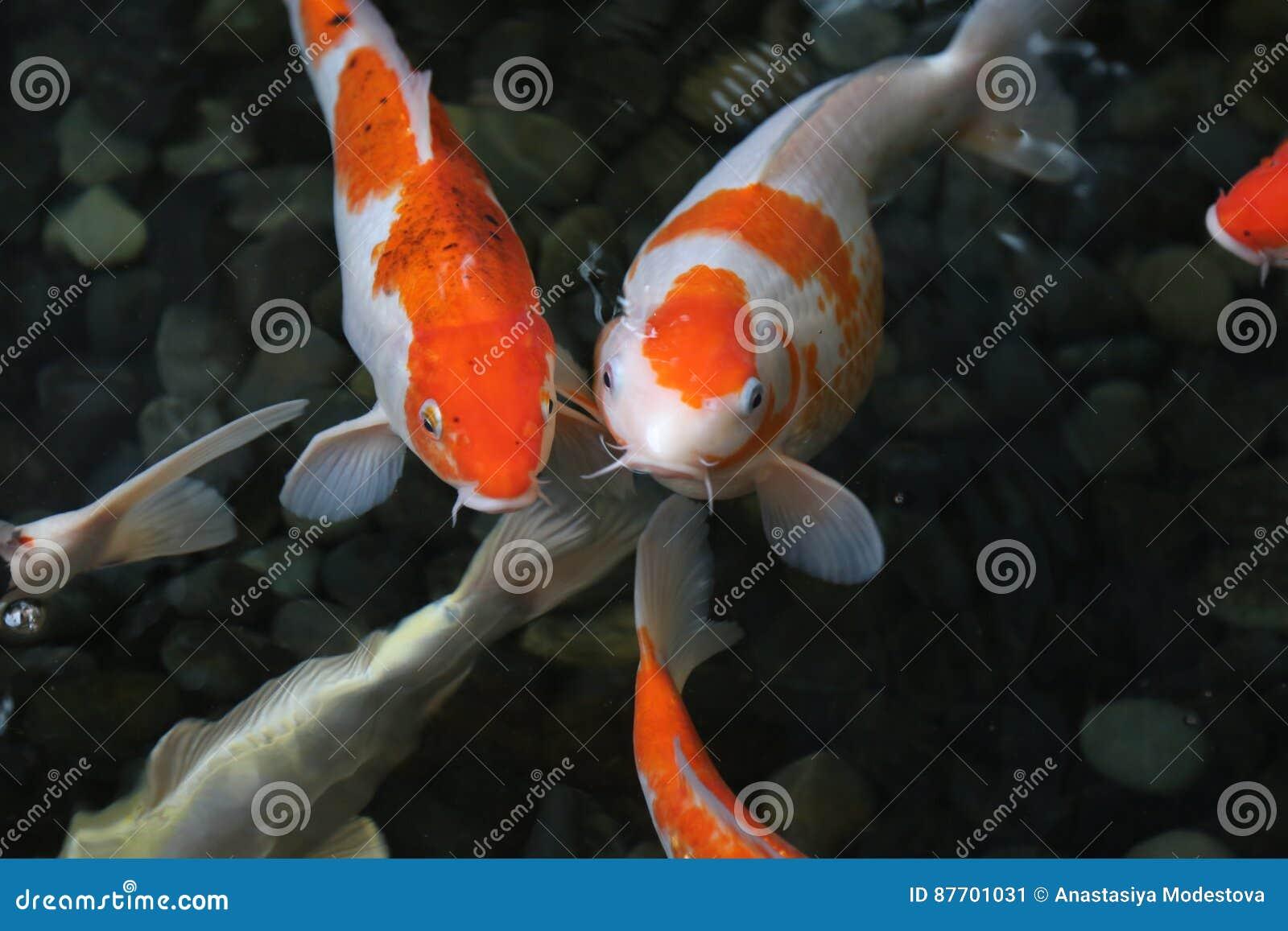 Coup courbe de poissons de Koi