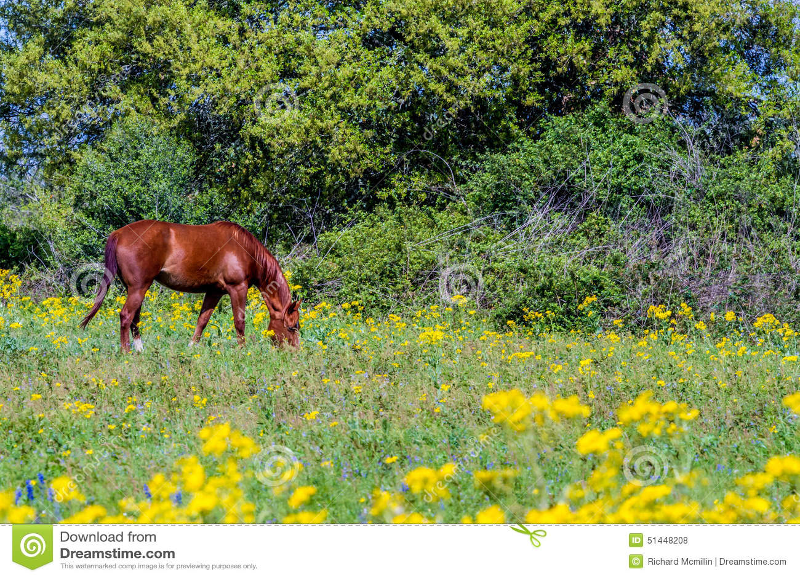 Coupez le séneçon de feuille (tampicana de Packera) Texas Wildf jaune intelligent