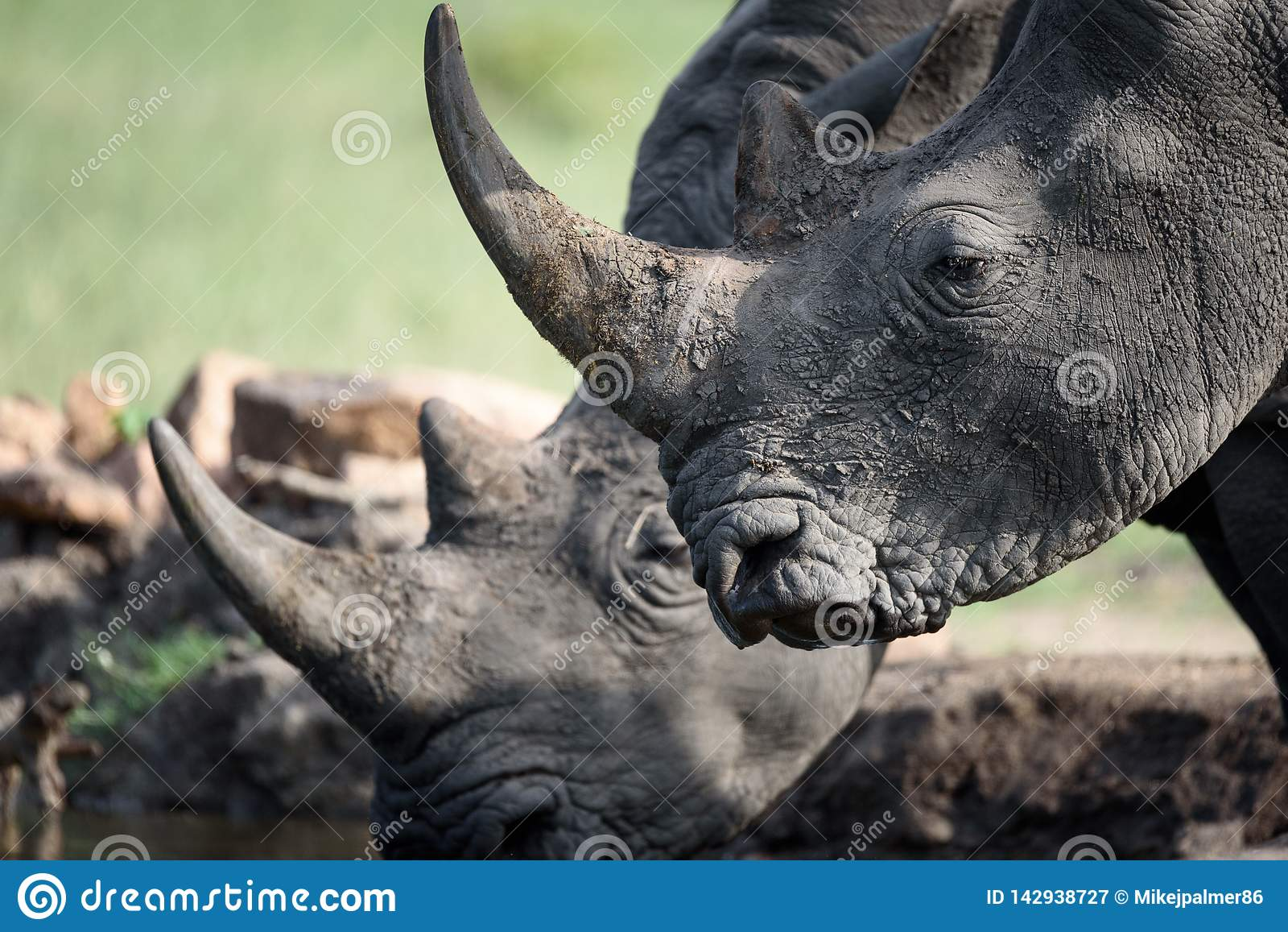 Drinking Rhino