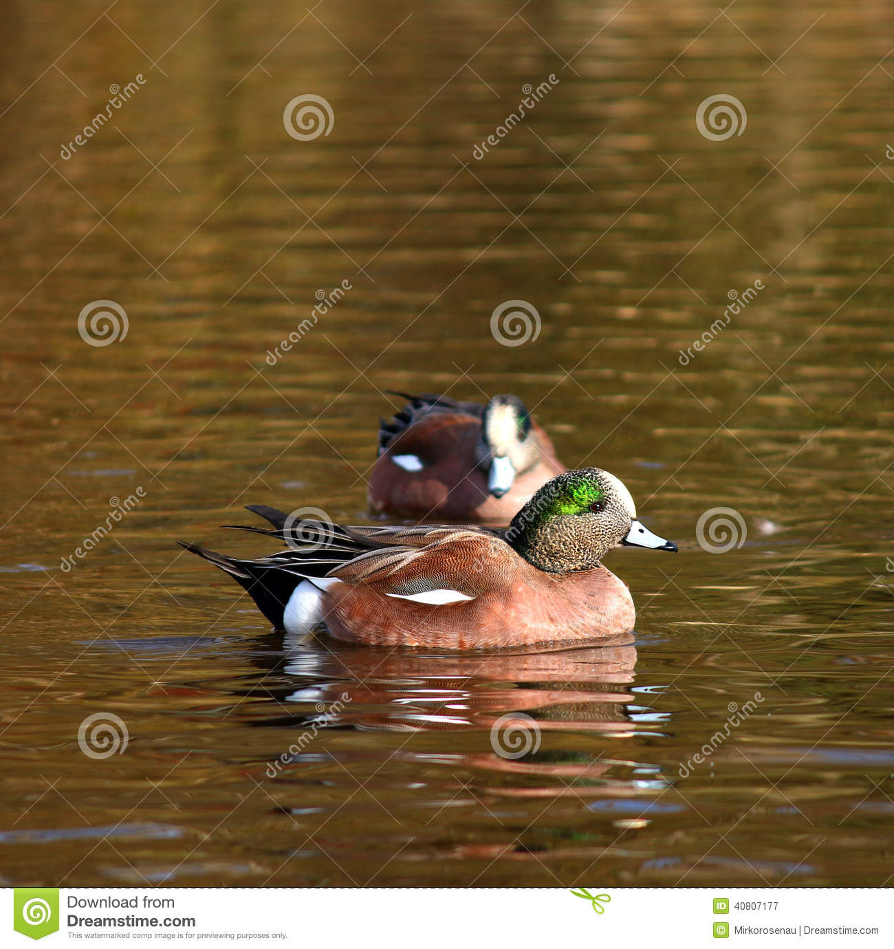 Group Of American Wigeon Swimming Duck Stock Photography ...