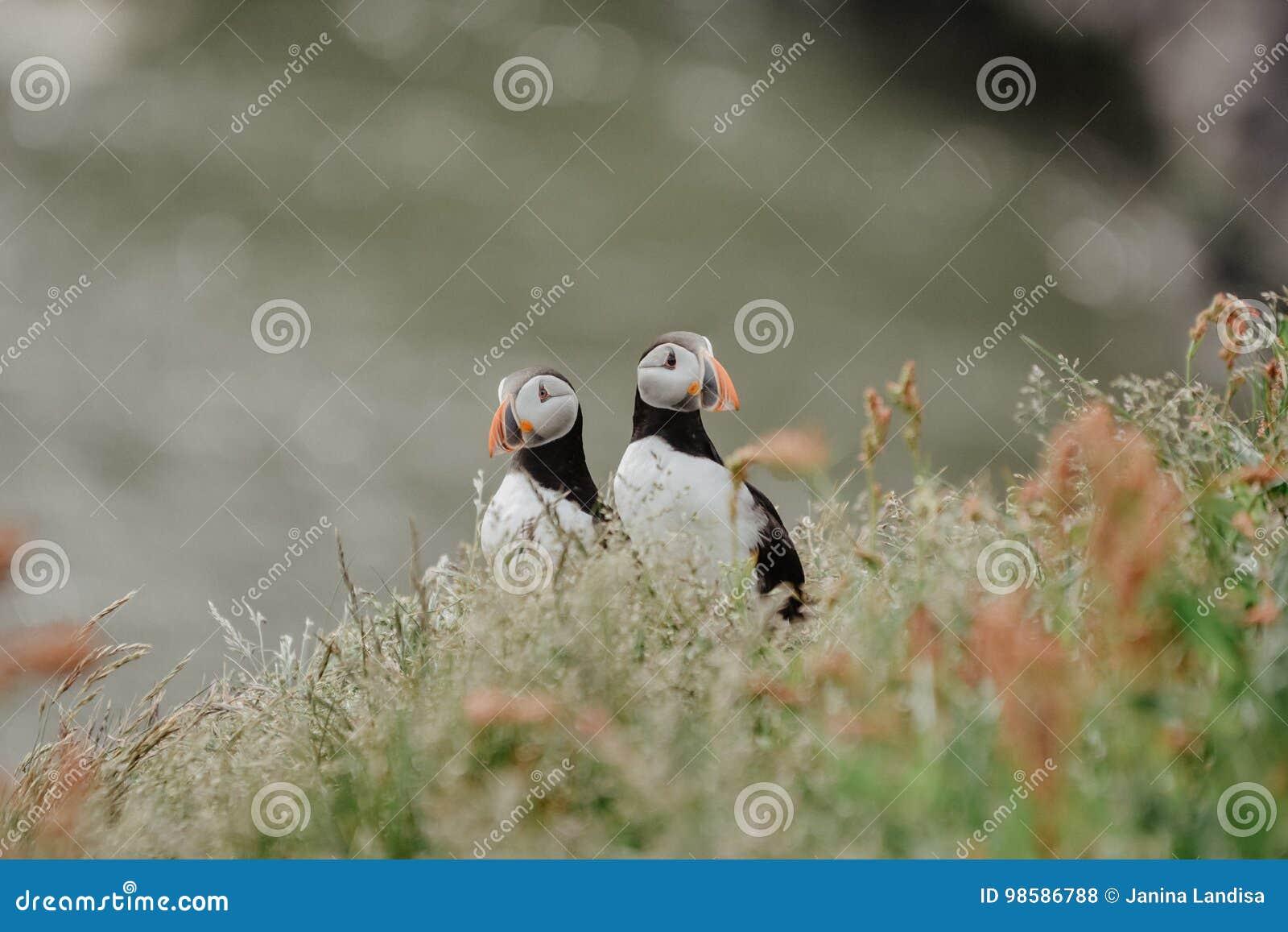 Couple of Atlantic puffins Fratercula arctica near Dyrholaey