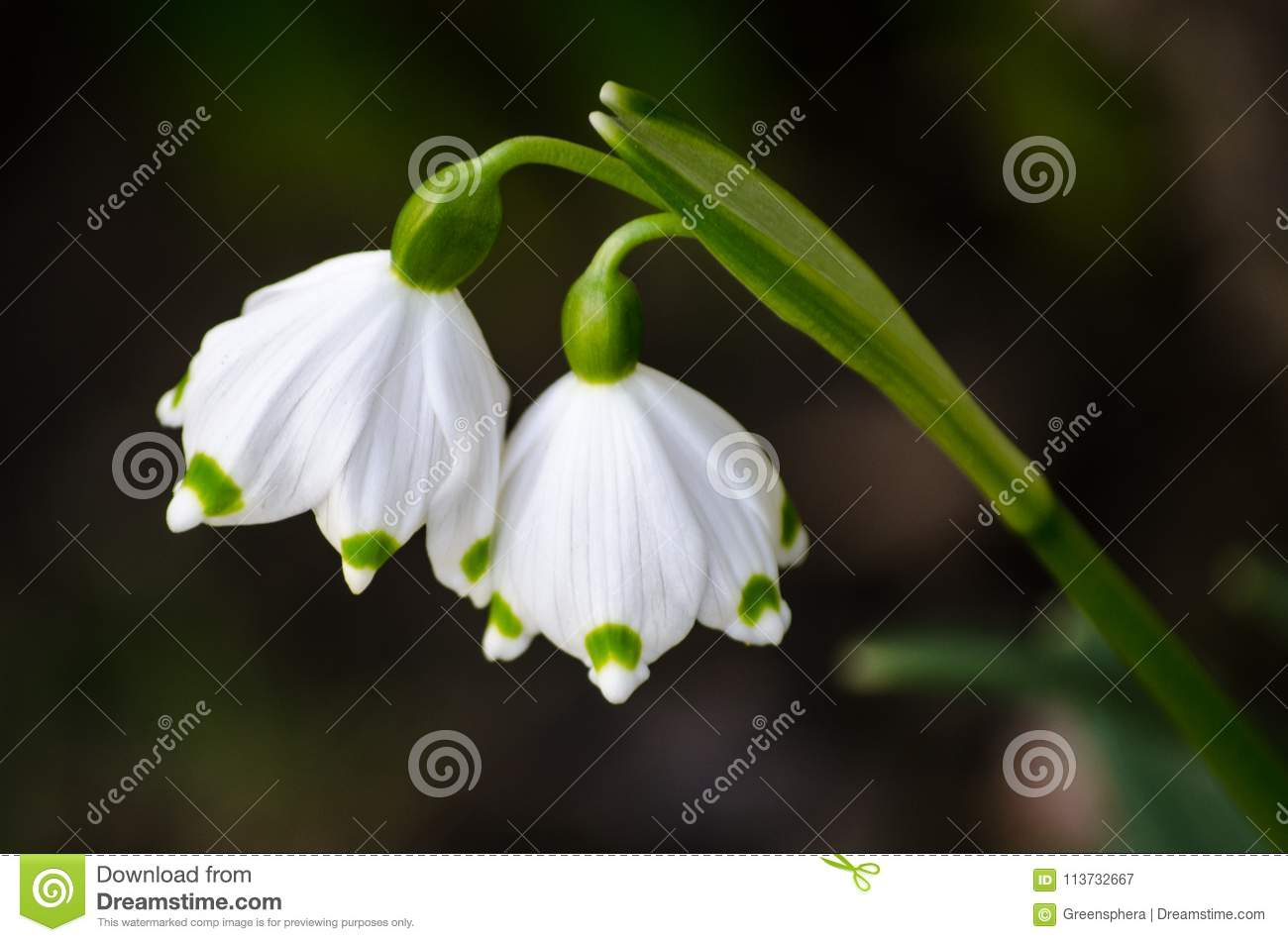 Pair Of Imperial Snowdrop Spring Flowers Stock Image Image Of