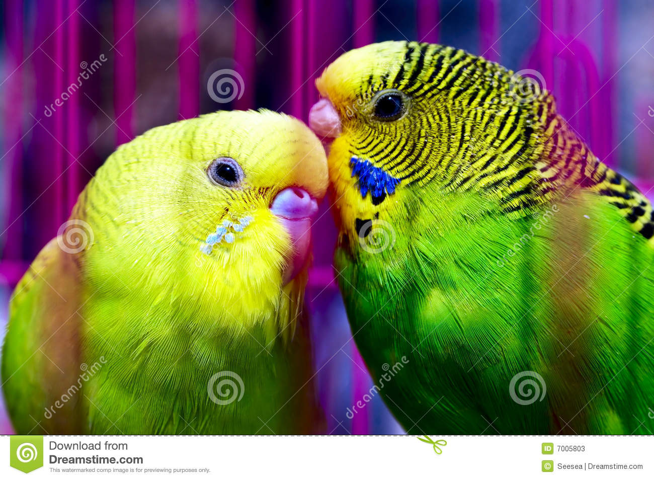 Couple of beautiful parrot stock image  Image of mate - 7005803