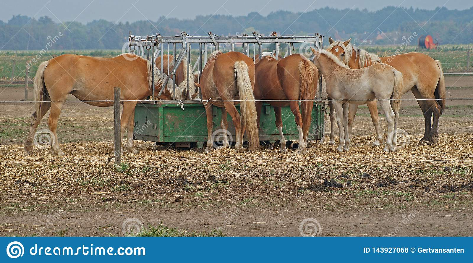 Couple of brown horses are eating from a food container