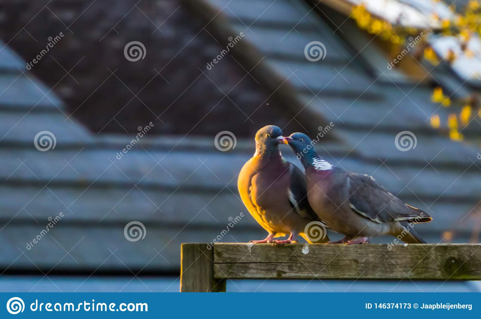 Couple of common wood doves being intimate together, common pigeons of europe