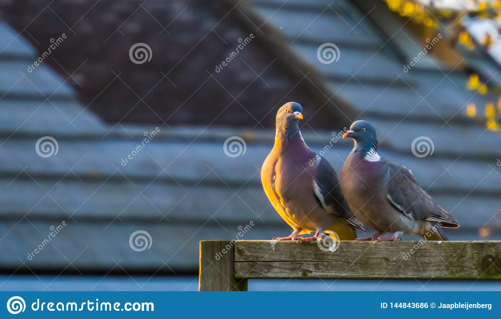 Couple of common wood doves sitting together on a wooden beam, common pigeons of europe