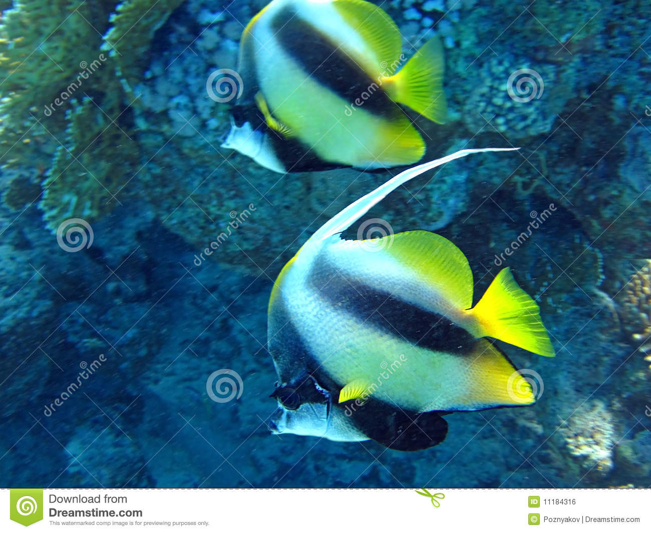 Couple of coral fish in blue water stock photo image for Dream about fish out of water