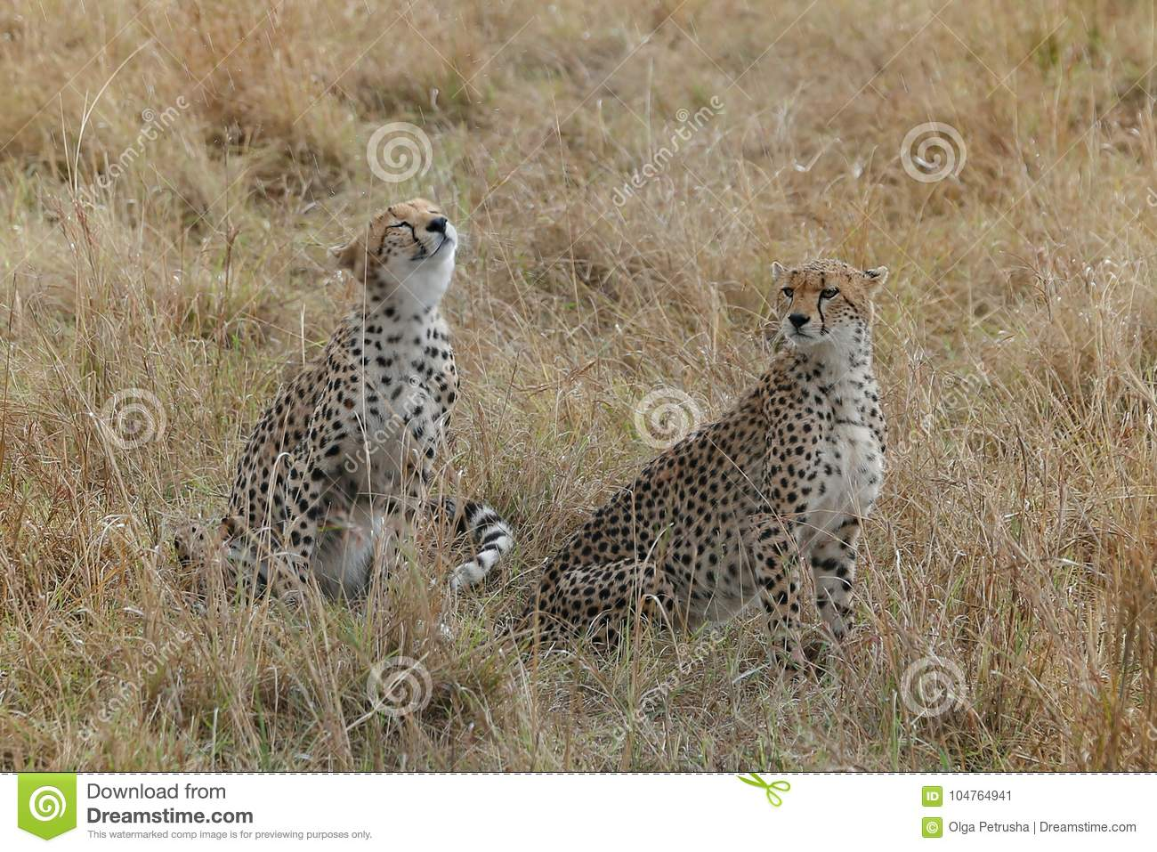 couple of cute cheetahs in the savannah stock image image of