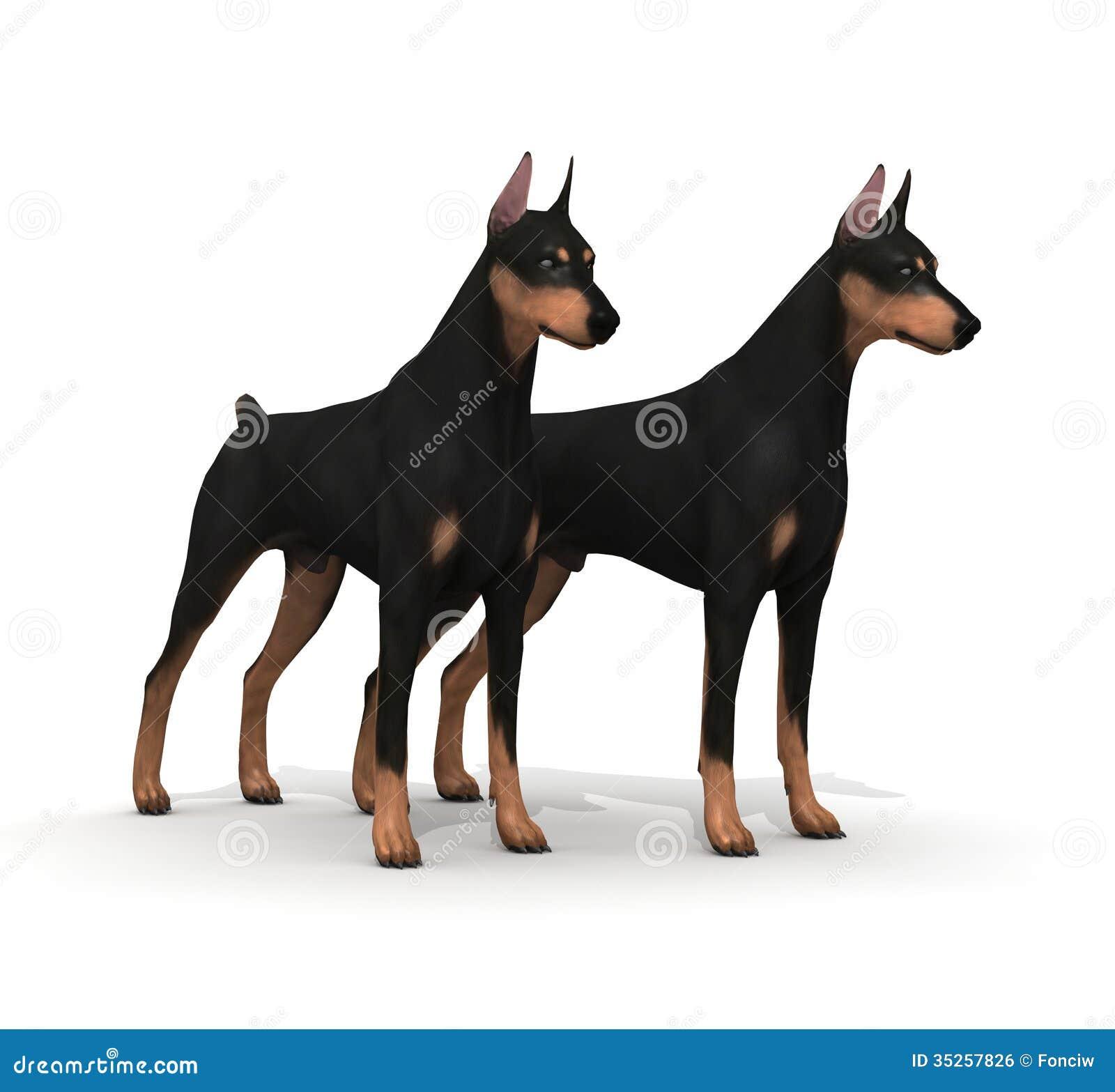 Couple Doberman Protection Royalty Free Stock Image - Image: 35257826