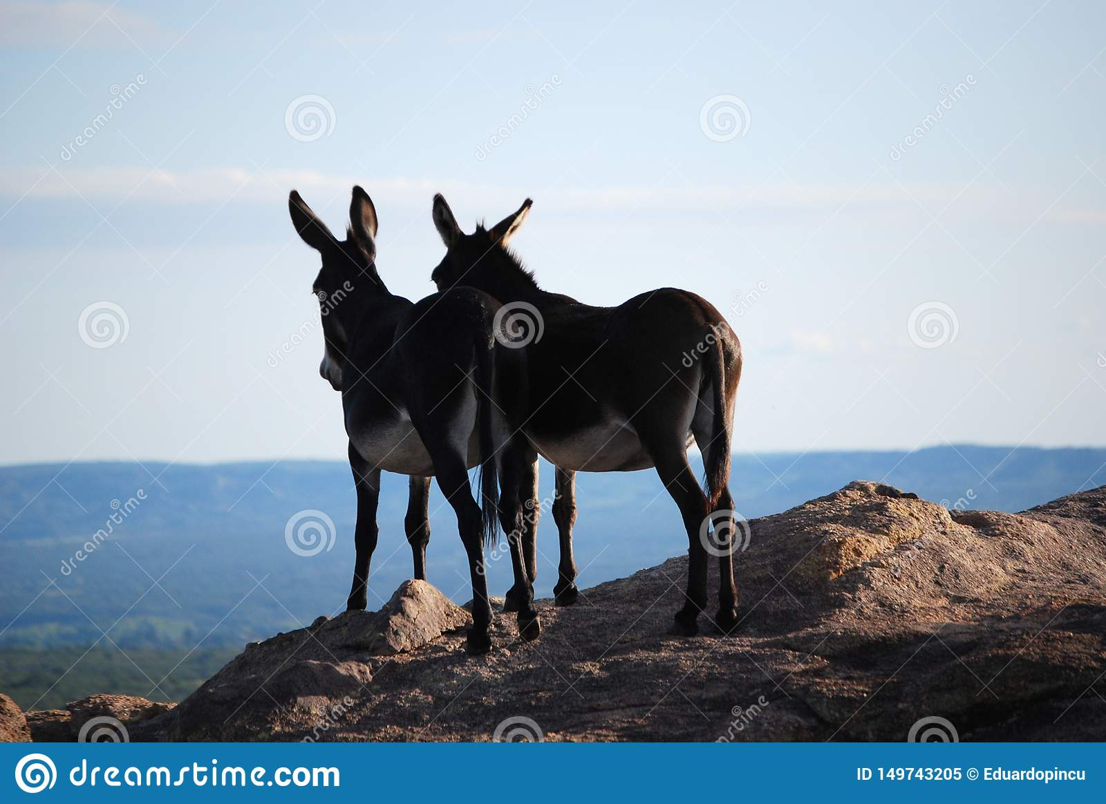 couple of donkeys in love in the mountains
